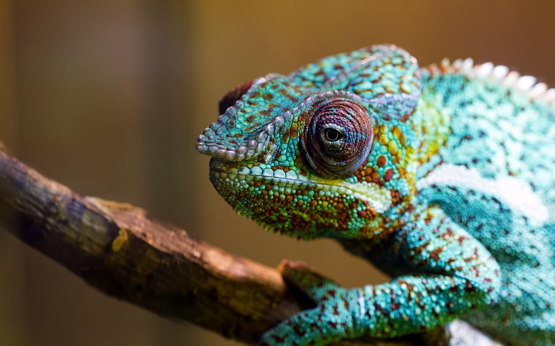 chameleon wallpaper 1920x1200 -#main