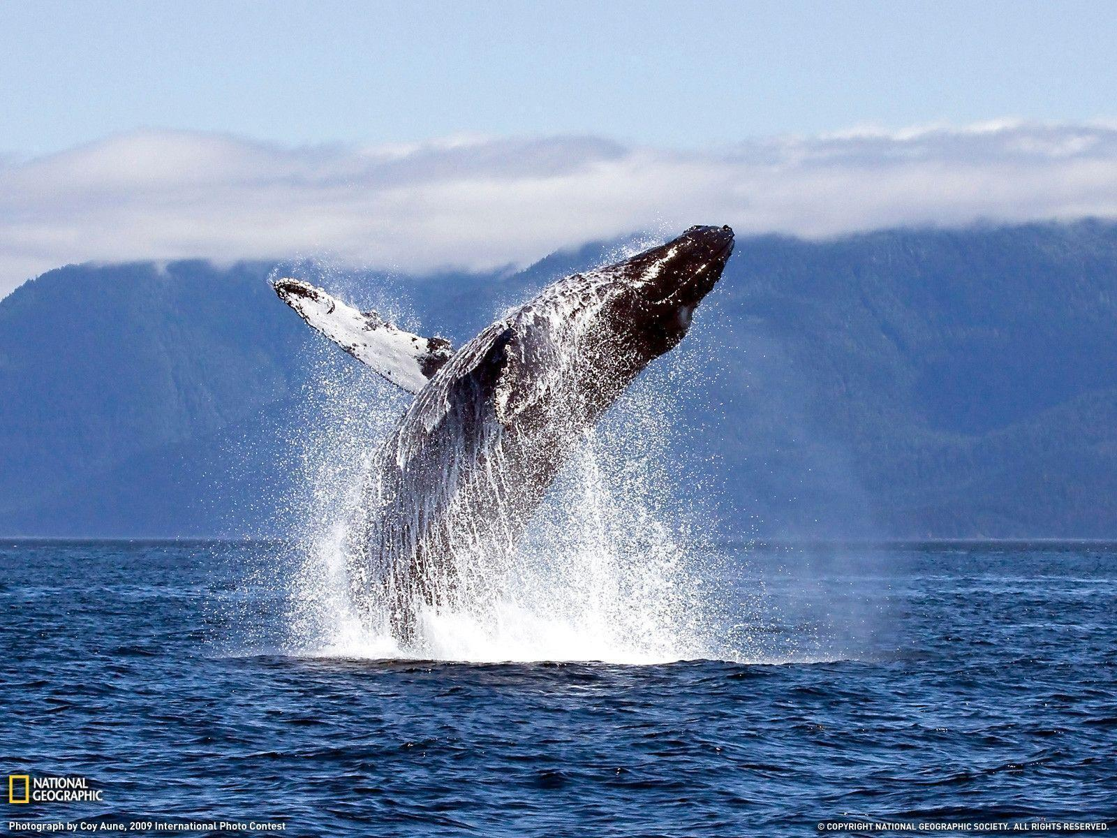 National Geographic Wallpaper Whales Humpback Whale Wallpap...