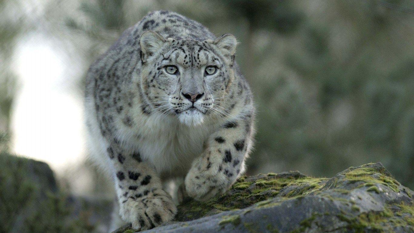 snow leopard hd wallpapers wallpaper cave