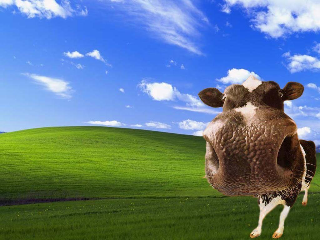 funny cow wallpaper - photo #13
