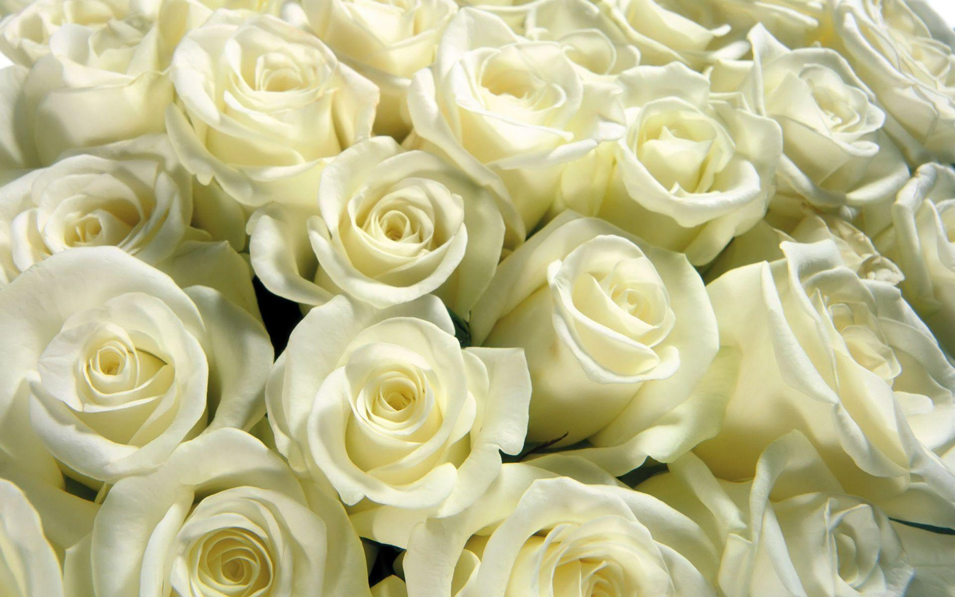 Cool Backgrounds Images White Rose Wallpapers HD