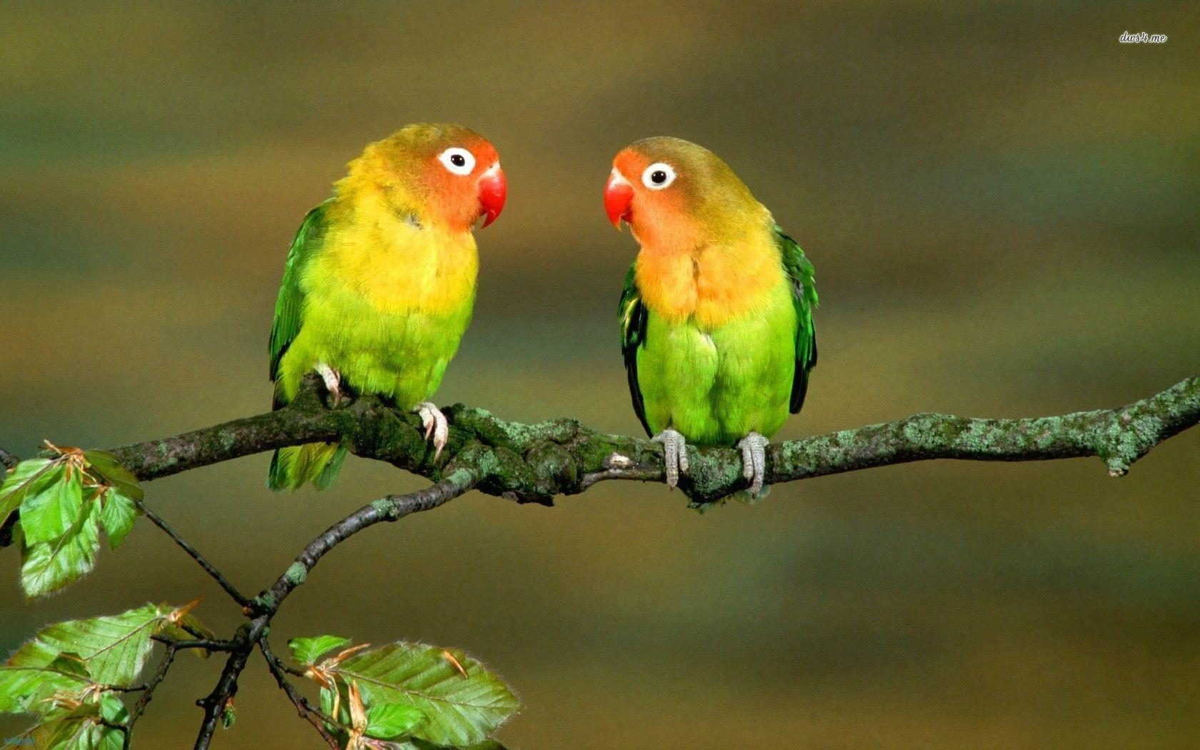 Love Birds Wallpaper Images : Lovebirds Wallpapers - Wallpaper cave