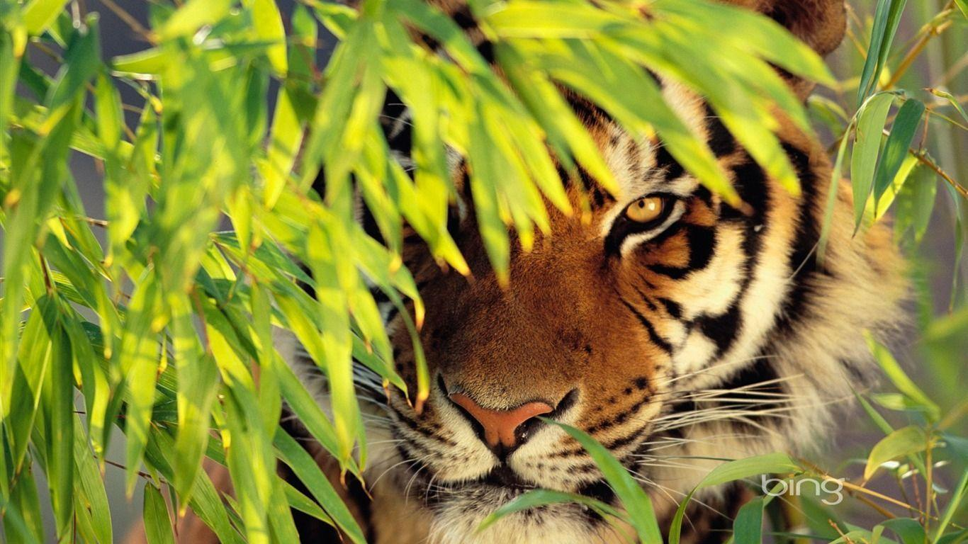 tiger wallpaper - AtPeek Search Engine