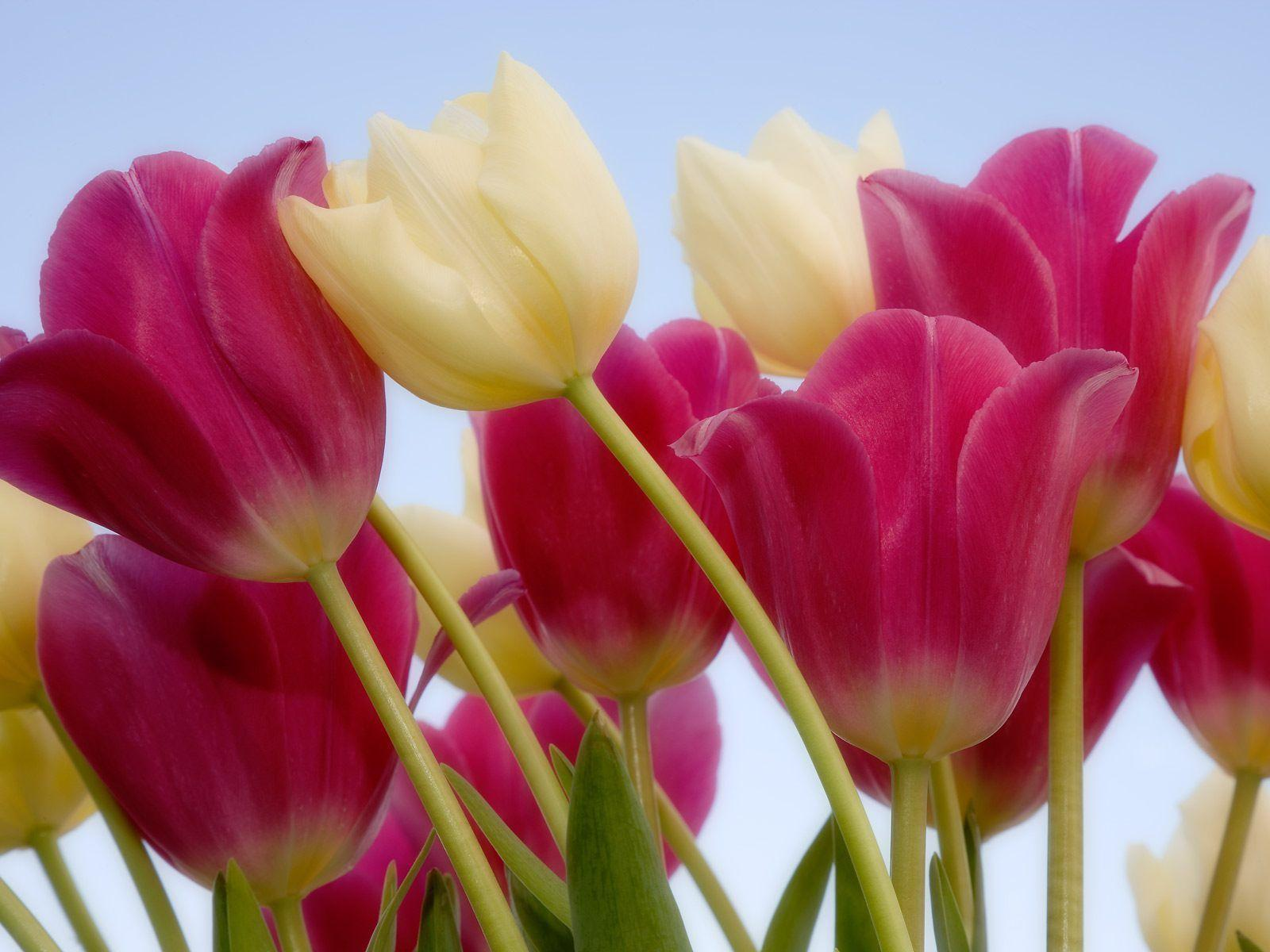 10 Tulips Flower Wallpapers For Your Desktop Backgrounds