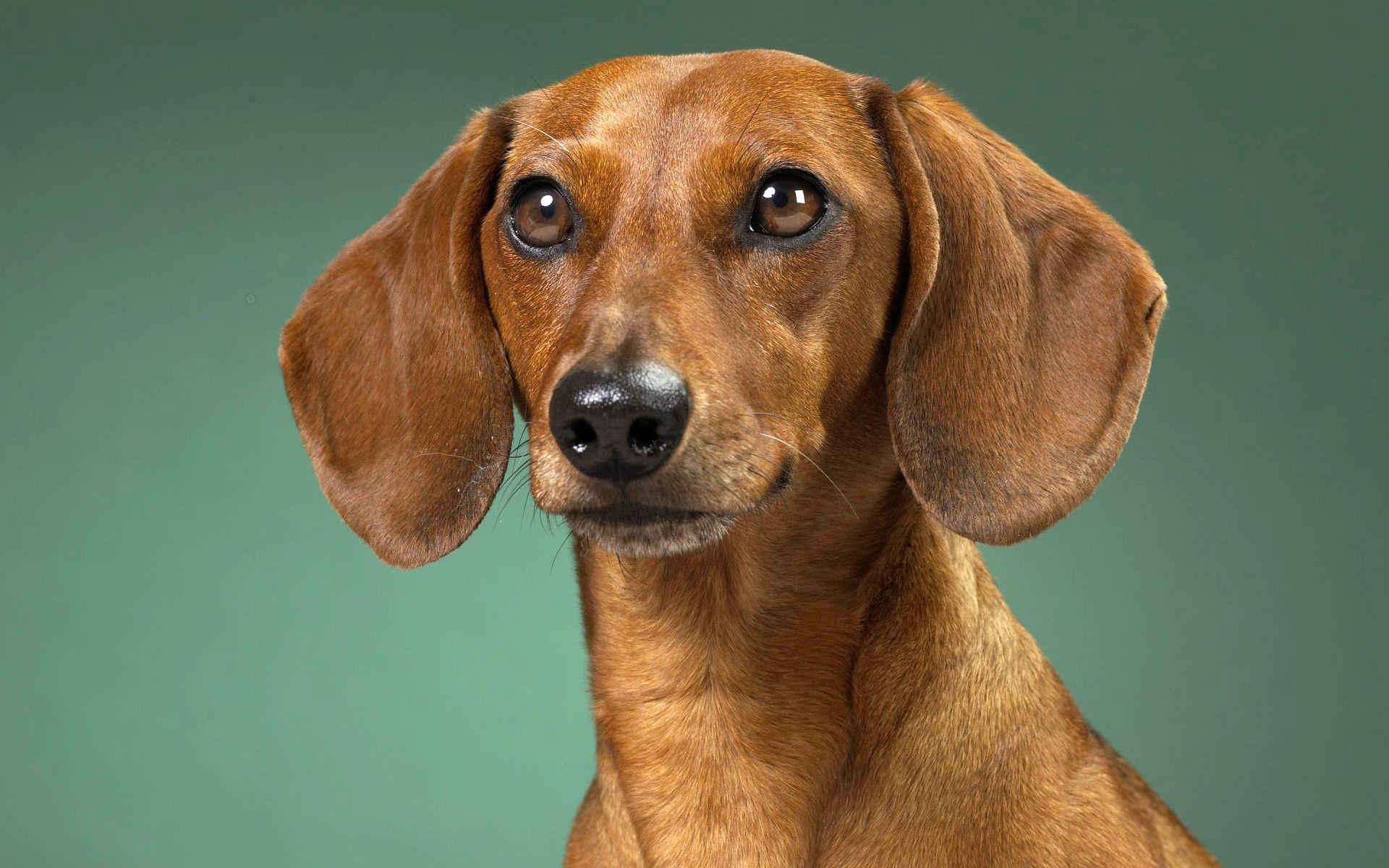 Wiener Dog Wallpapers Wallpaper Cave