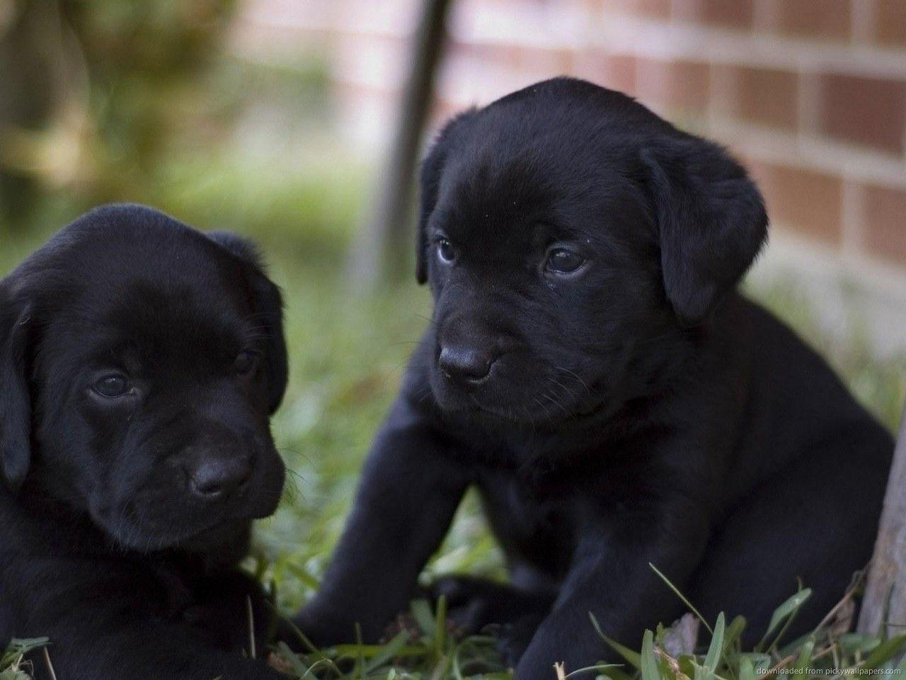Black Lab Puppy Wallpapers Wallpaper Cave