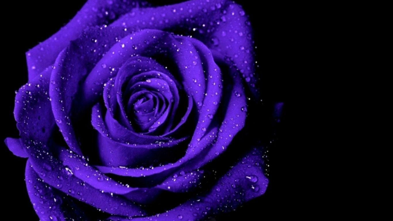 Dewy Violet Roseon Black Background Wallpaper
