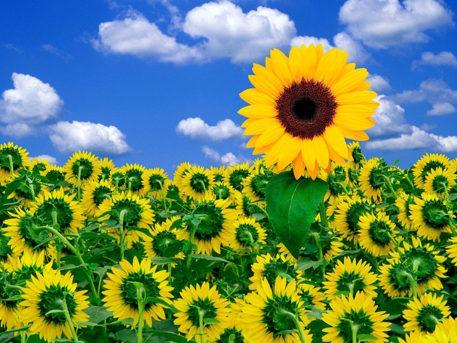 Sunflower Desktop Wallpapers Free Wallpaper Cave