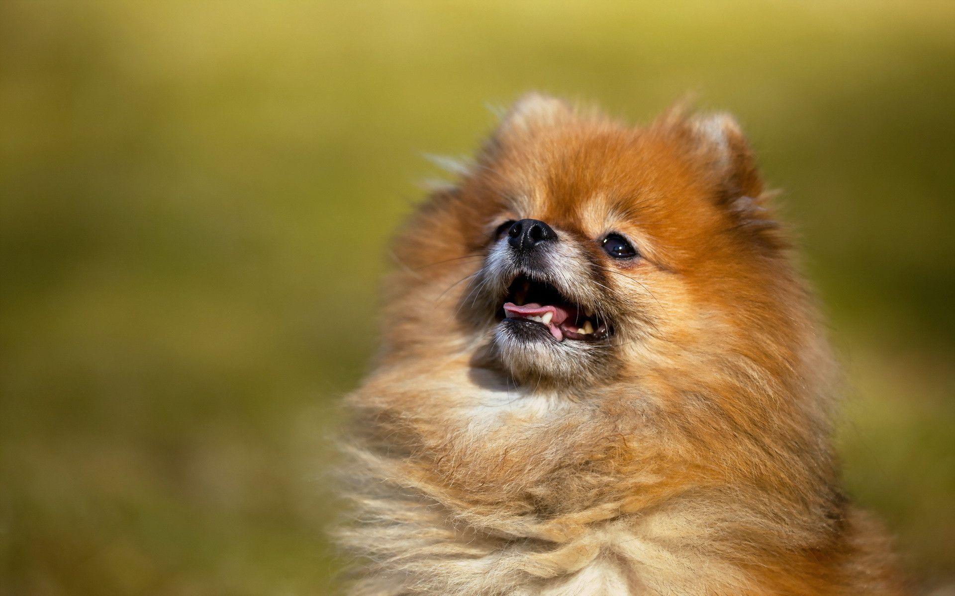 free pomeranian puppy wallpaper - photo #29