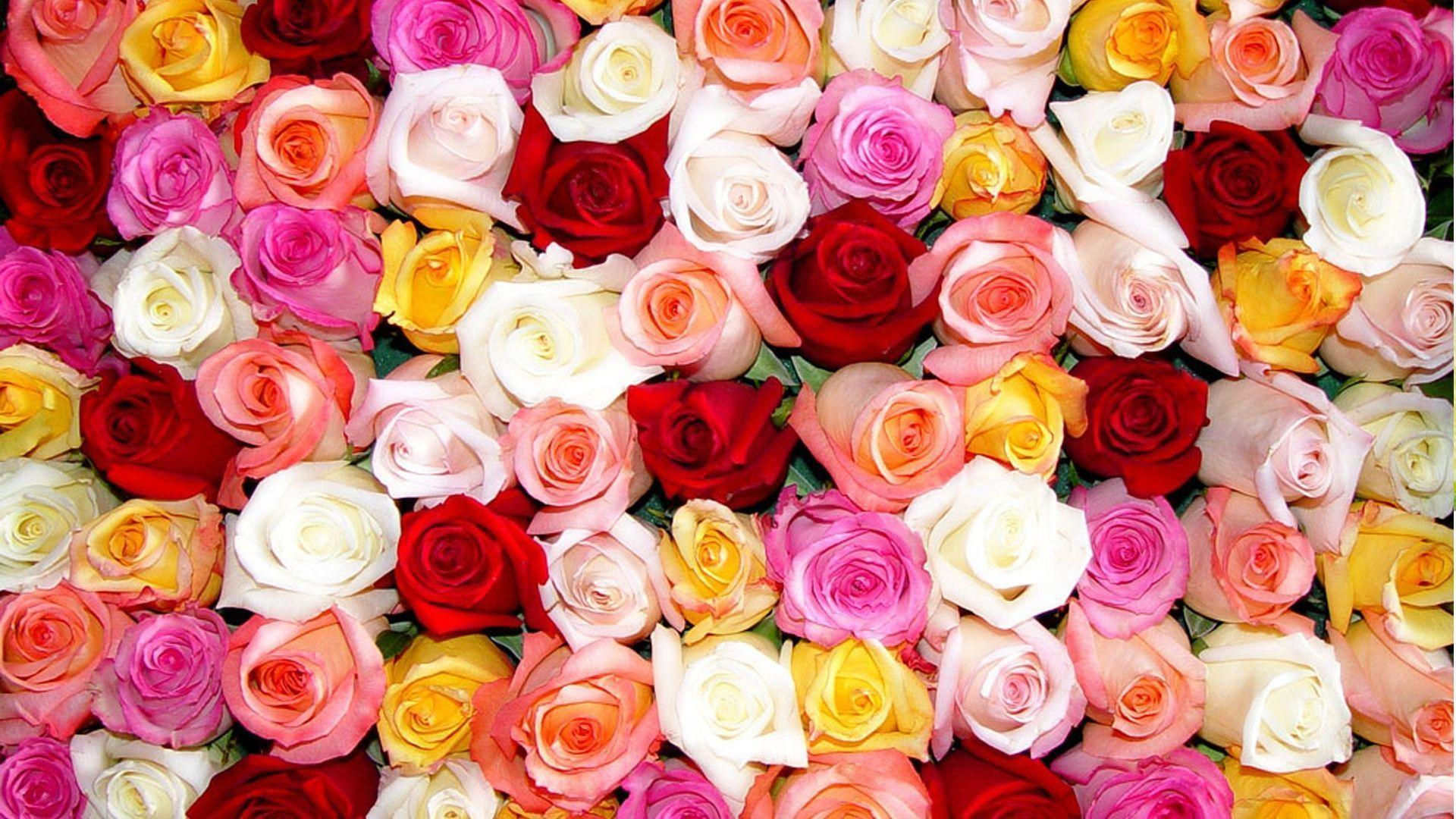 Colorful Roses Wallpaper HD - Rose Day - All Day Images