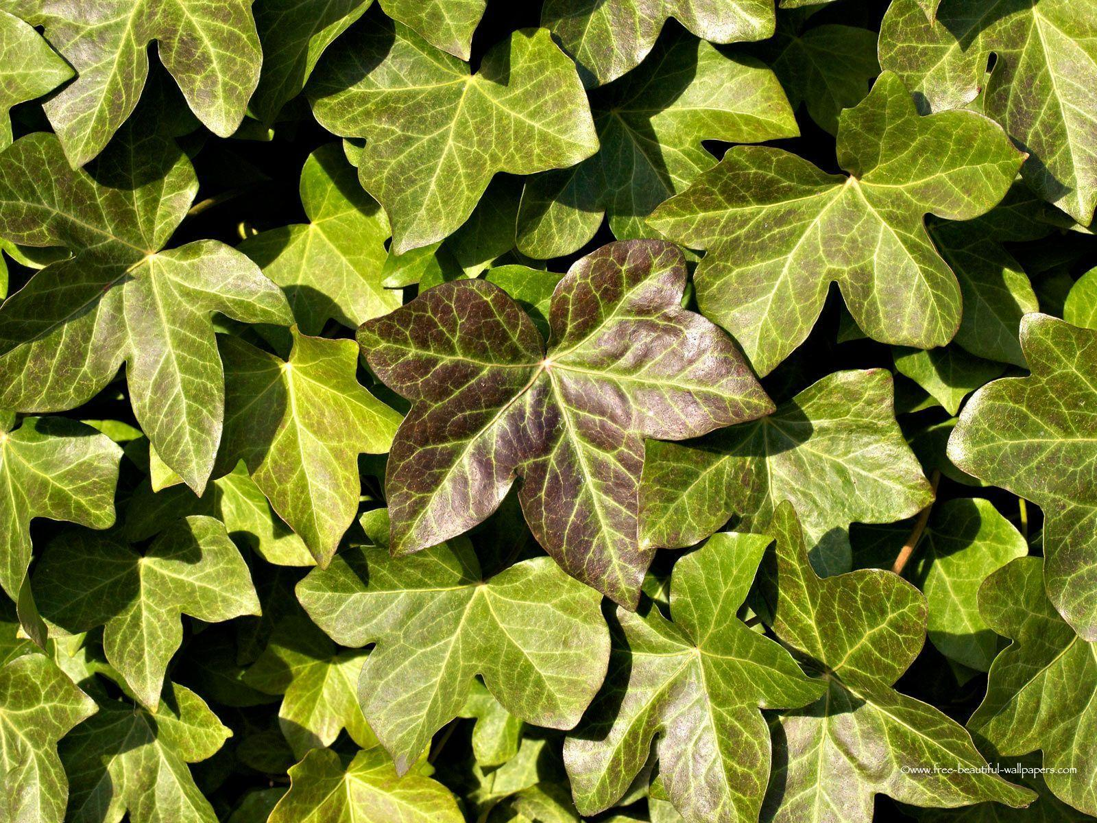 ivy wallpapers wallpaper - photo #16