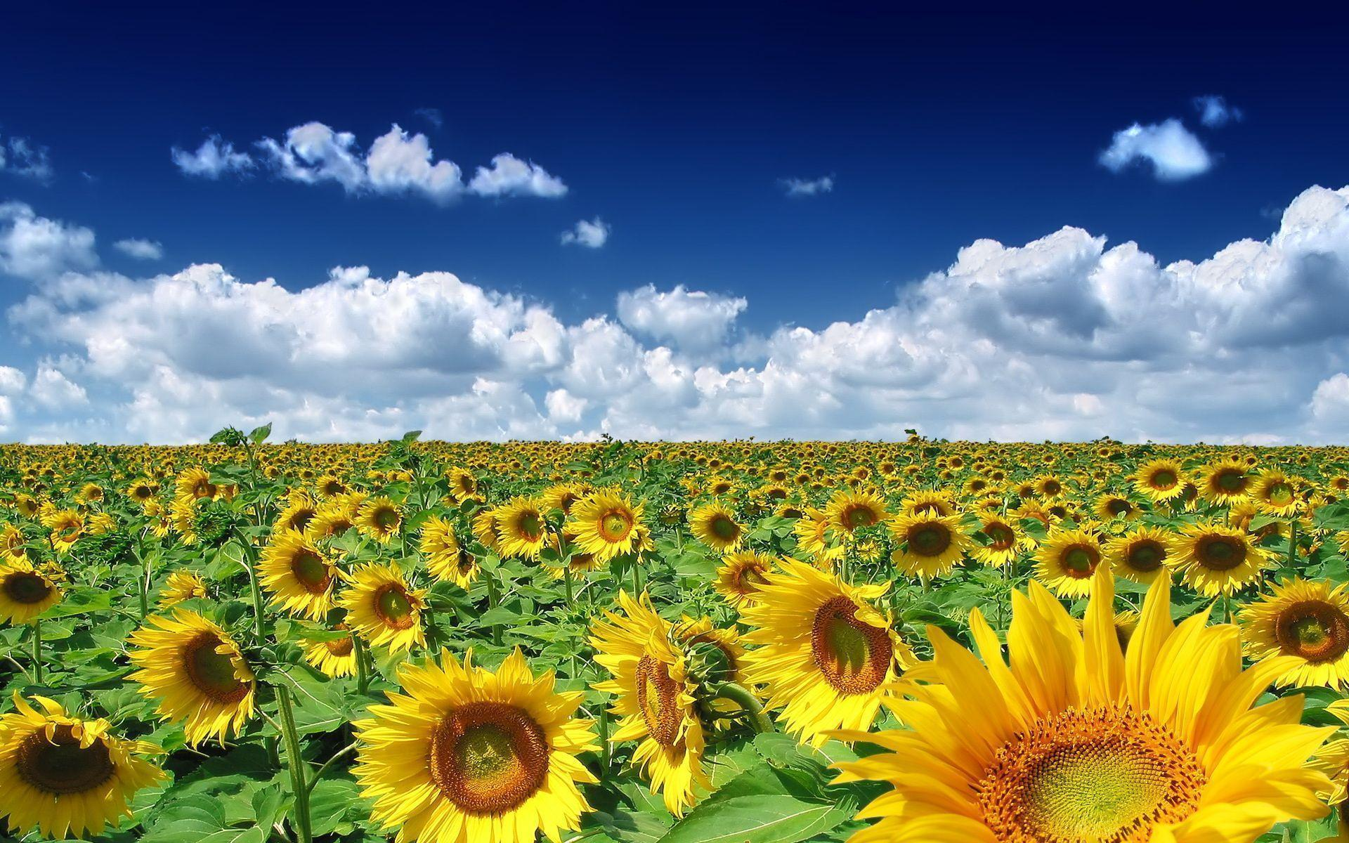 Sunflower Wallpaper For Iphone 12580 Full HD Desktop