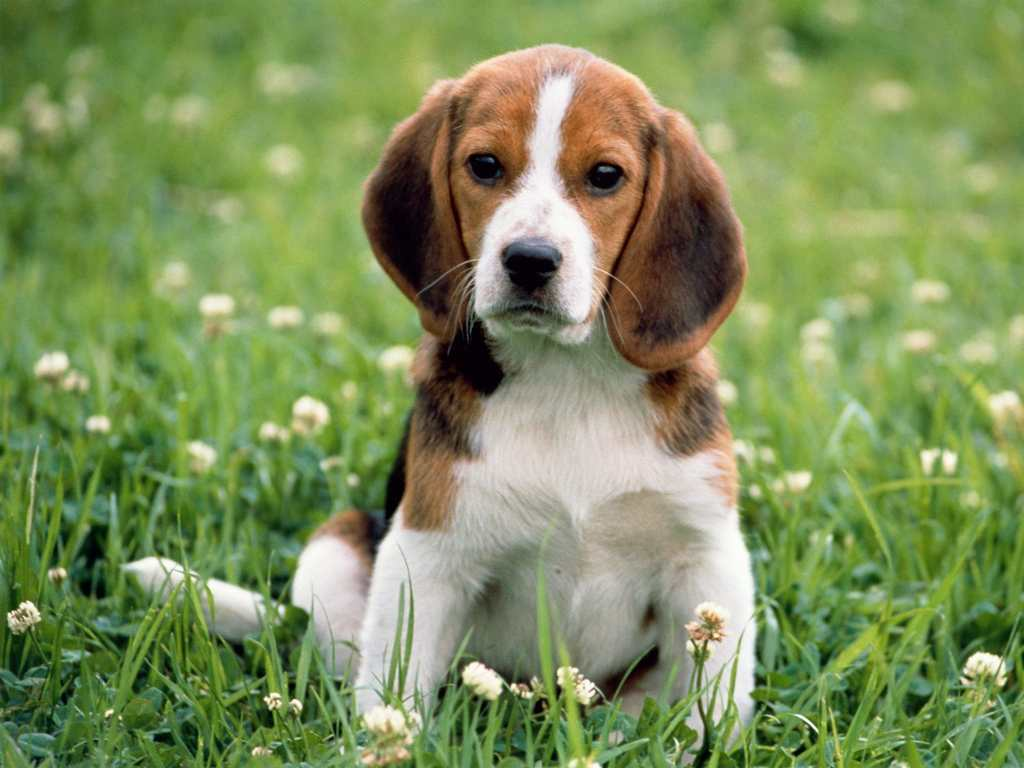 Cute Puppy Dog Exclusive HD Wallpapers