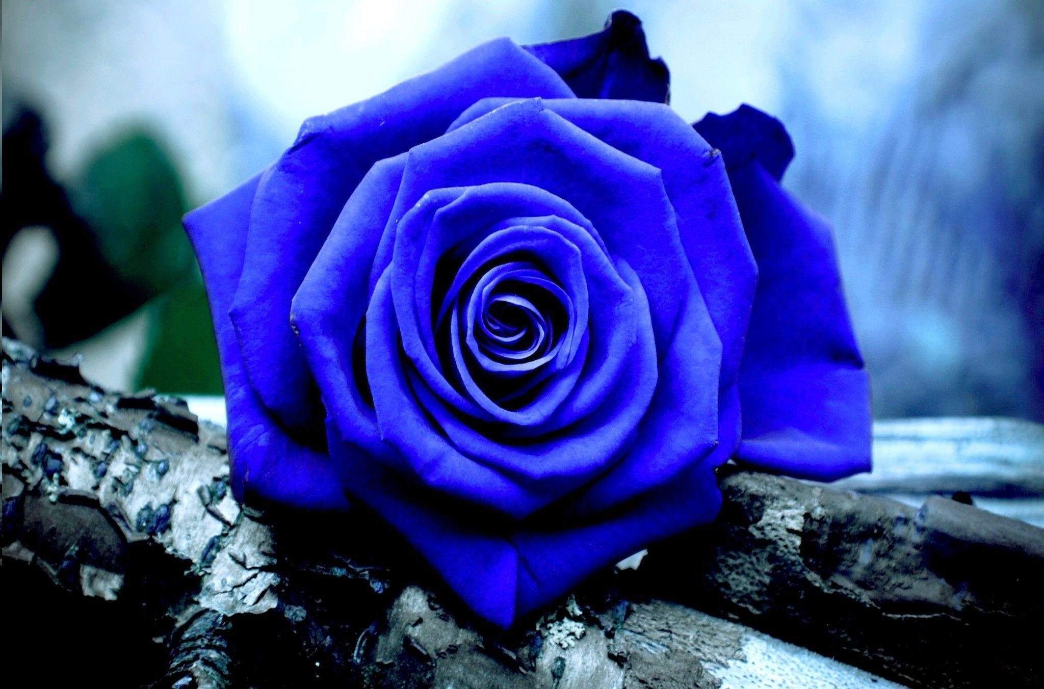 Free Blue Rose Wallpapers - Wallpaper Cave