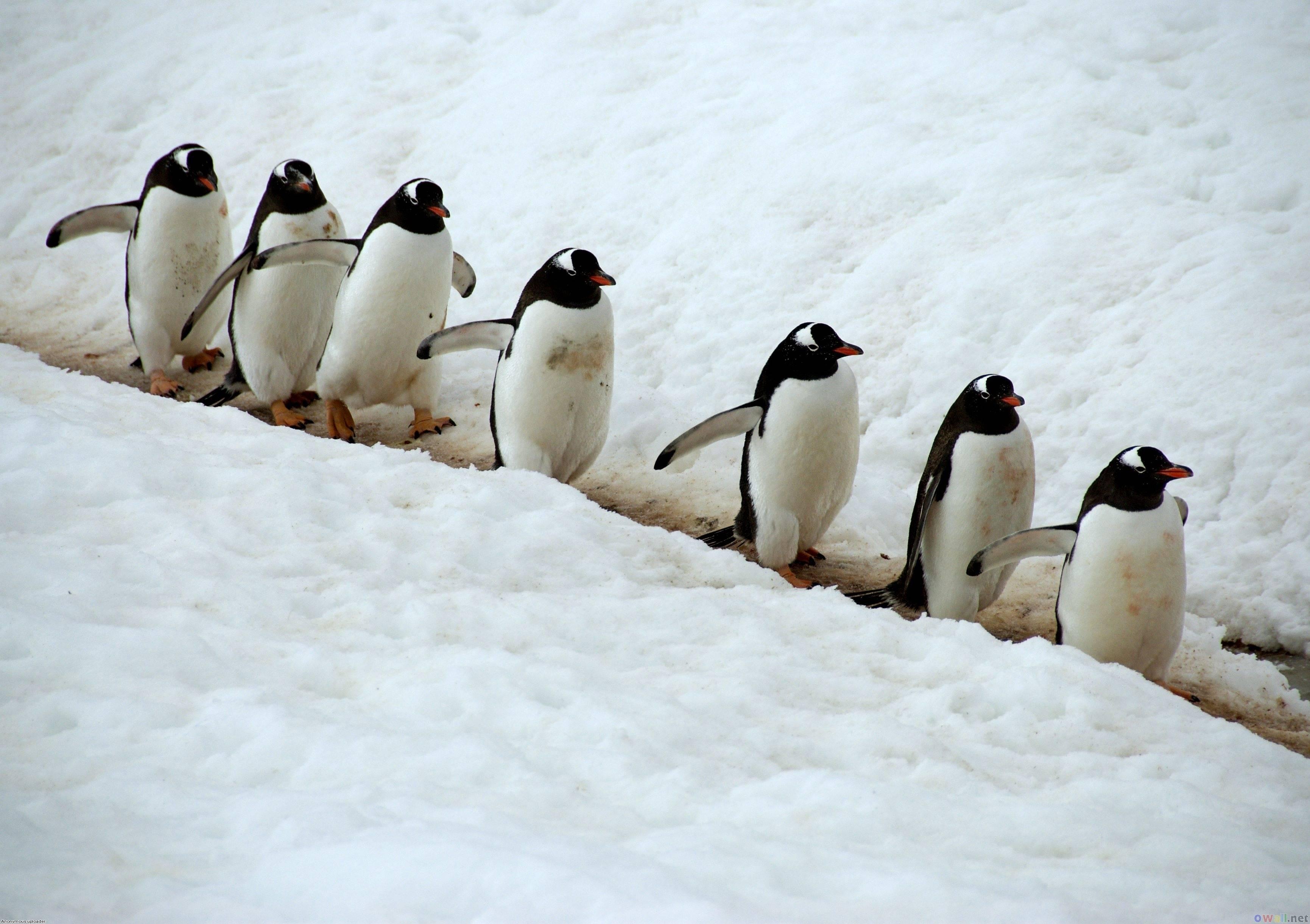penguin wallpaper wallpapers - photo #5