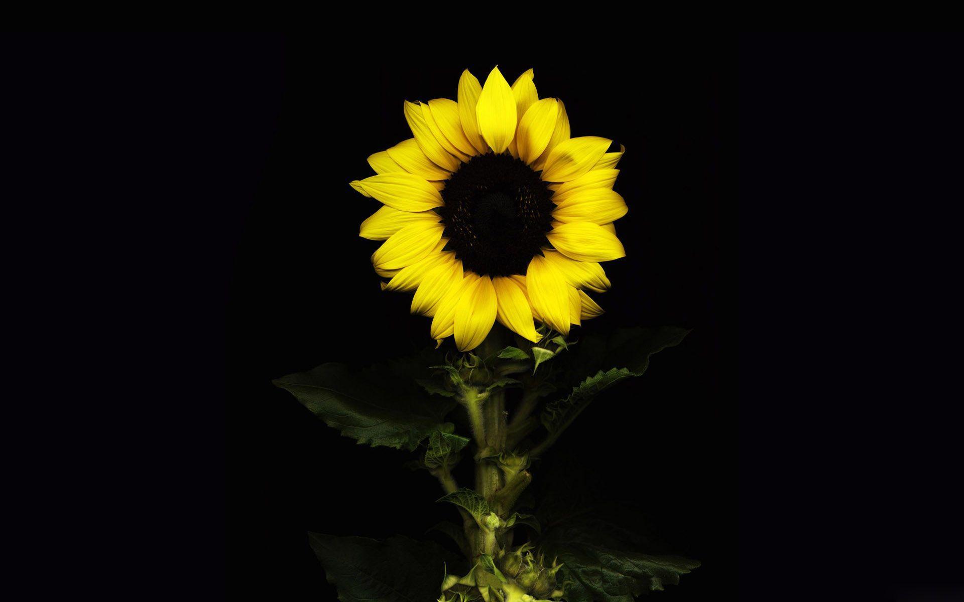 sunflower 8 wallpaper 1920x1080 - photo #20