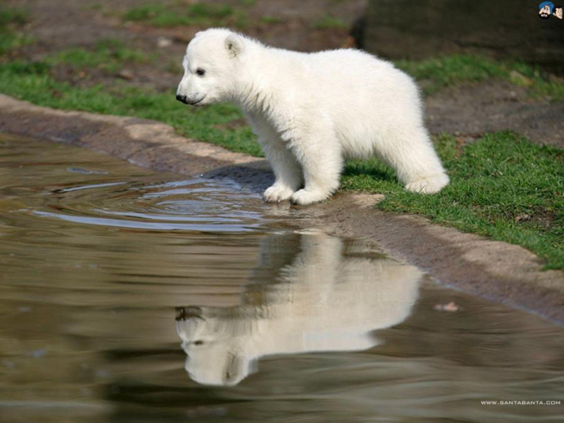 Baby Polar Bear Wallpapers - Wallpaper Cave