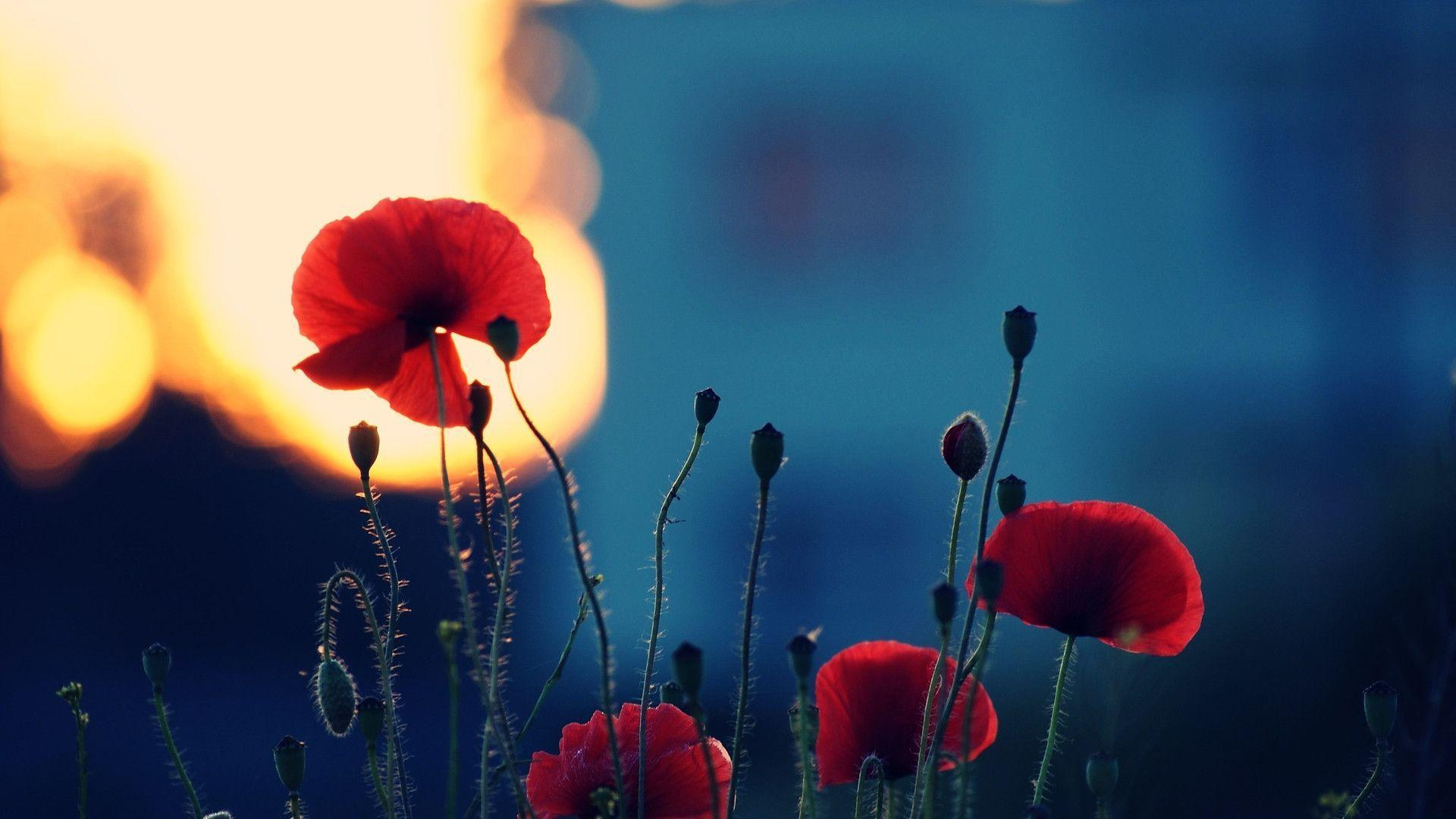 poppies wallpapers 22 hd - photo #24