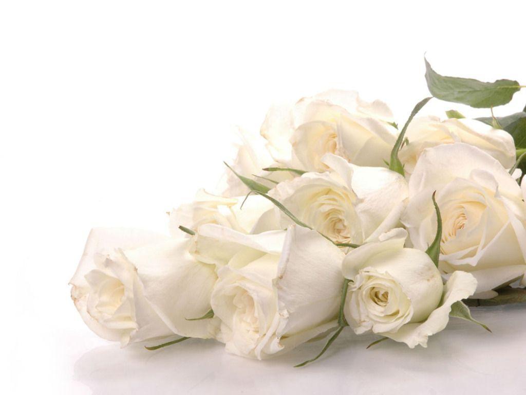 bloomed white roses wallpaper - photo #15