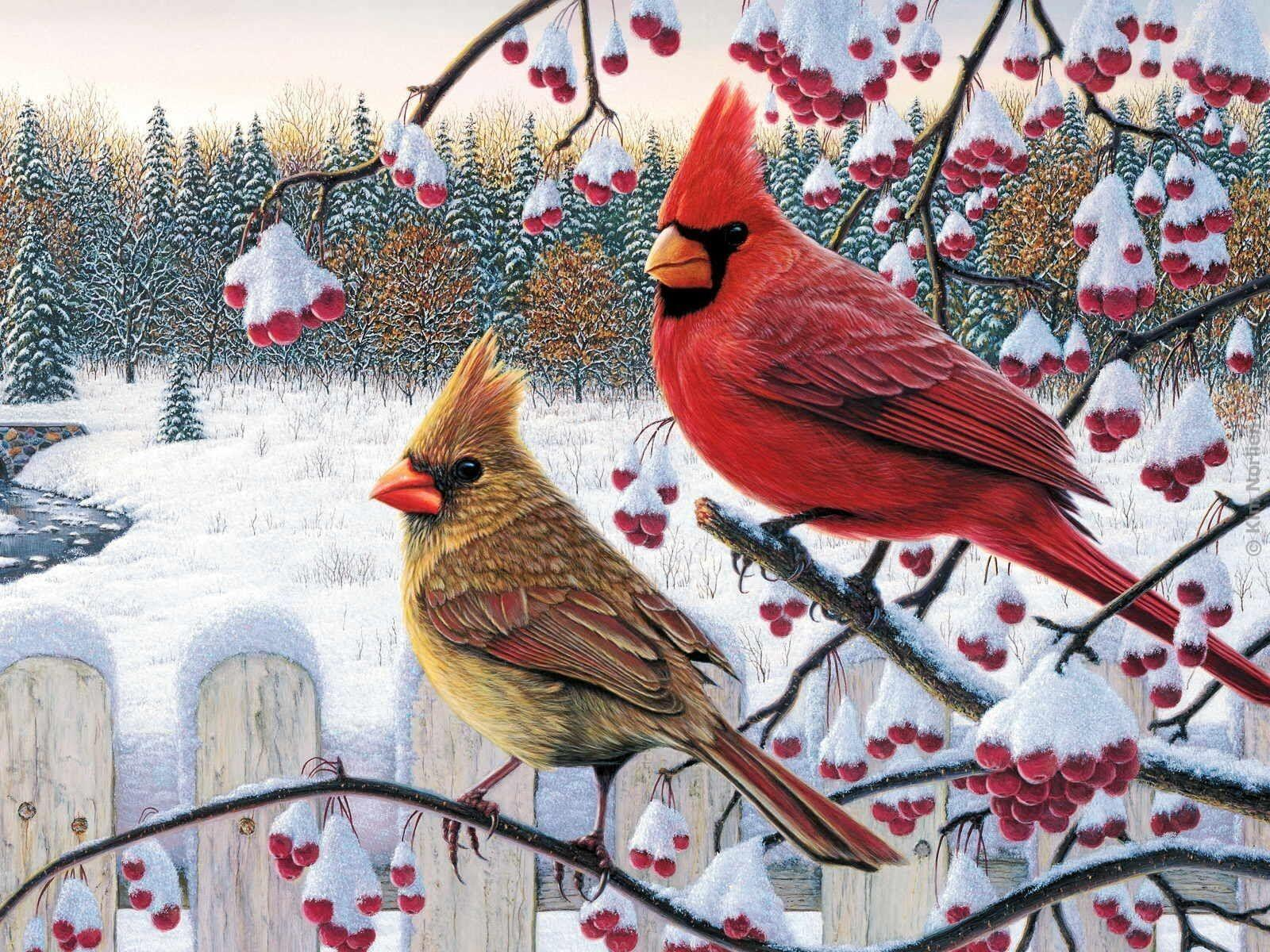 Cardinal Bird Wallpapers - Wallpaper Cave
