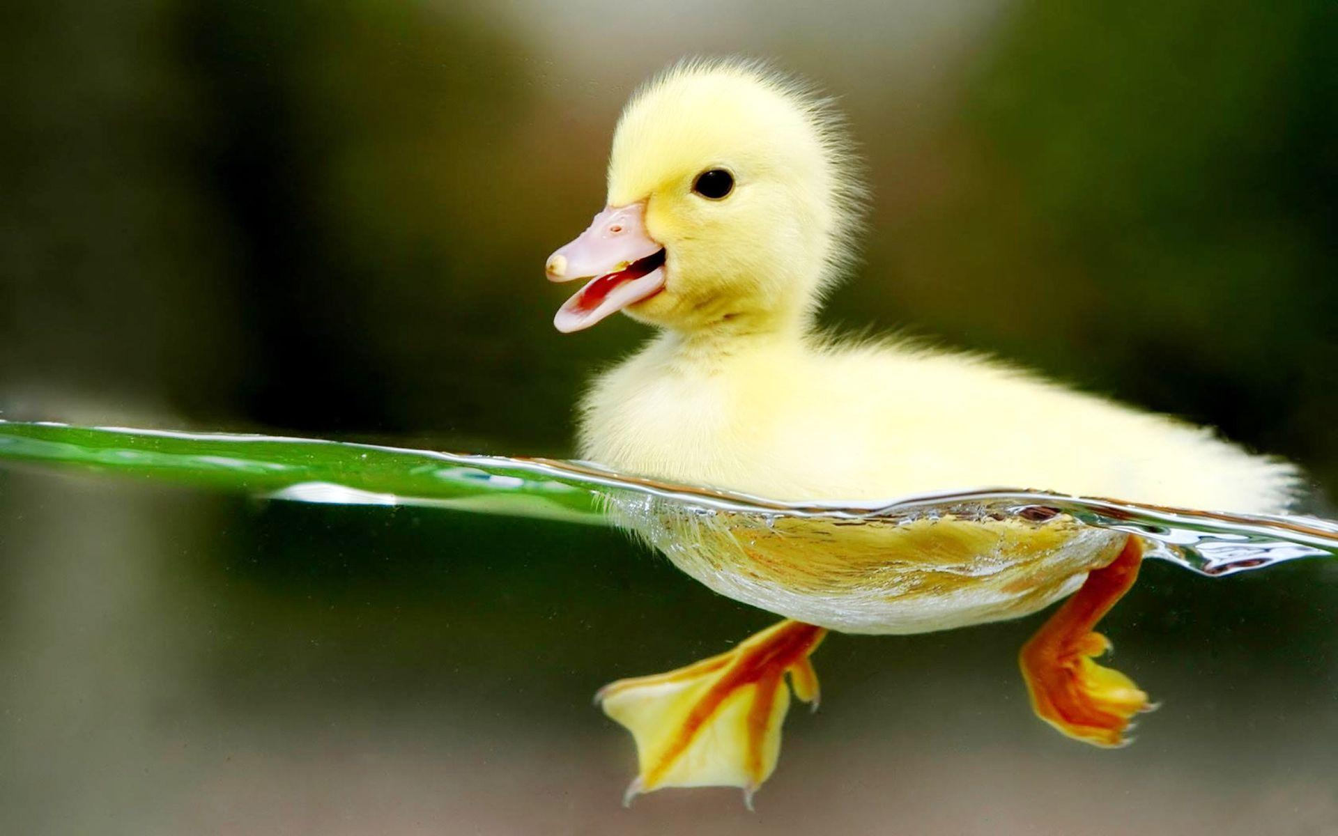 Baby Duck Wallpapers -...