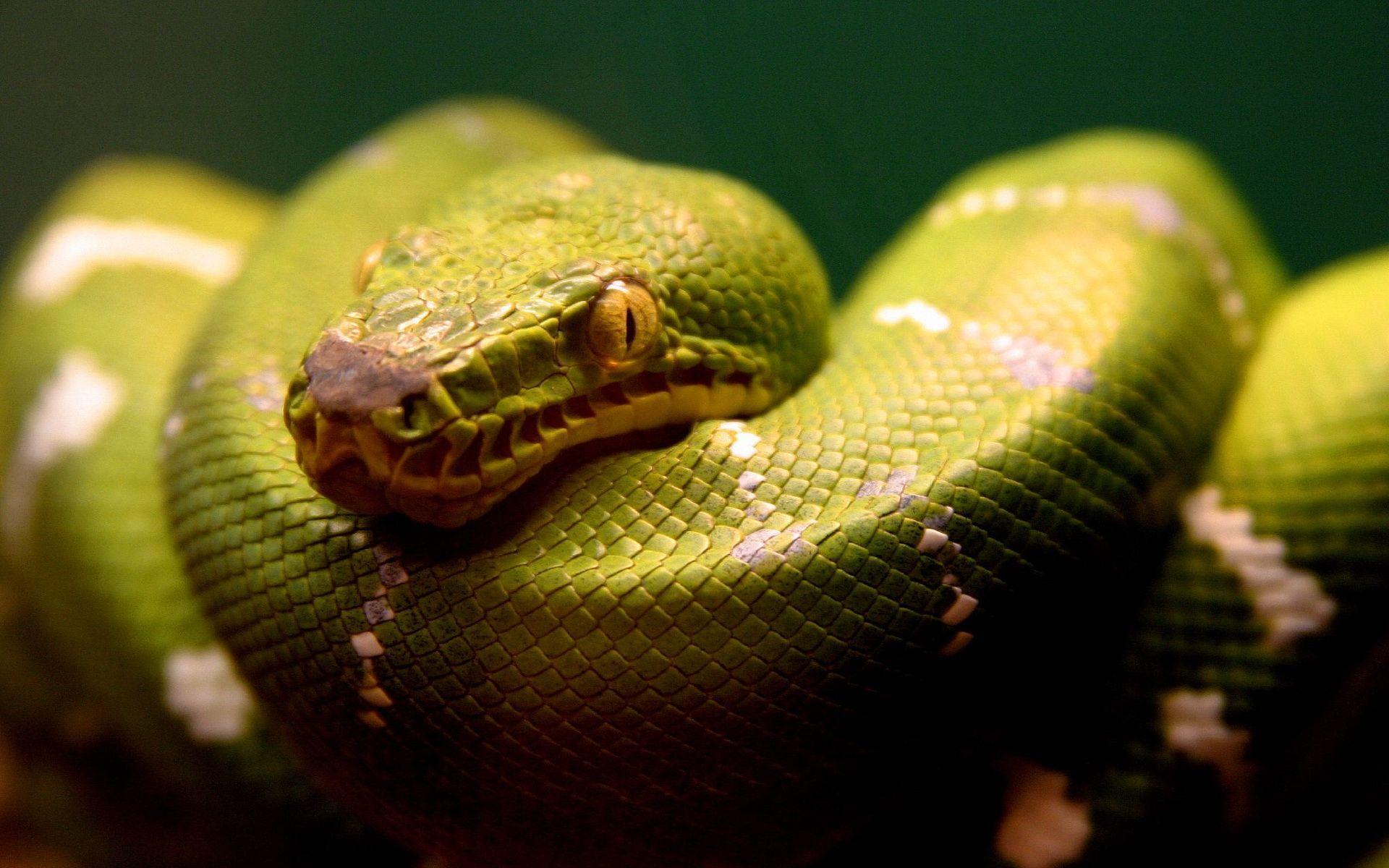 green snake Wallpaper - Animal Backgrounds