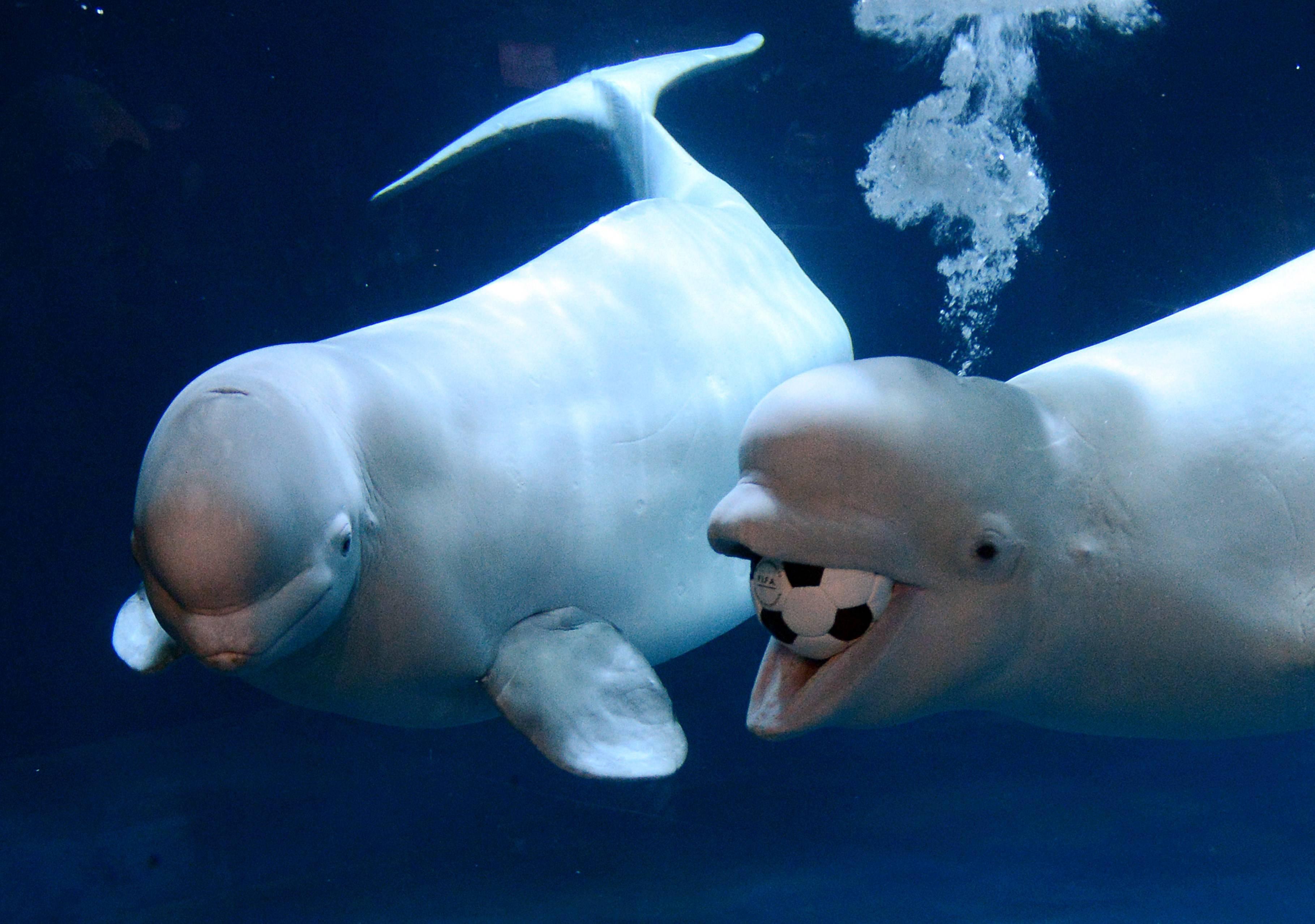 beluga whale wallpapers wallpaper cave