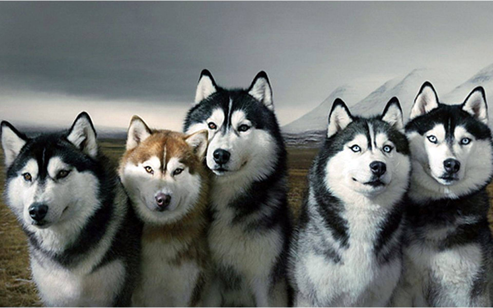 Husky Dog Wallpapers Wallpaper Cave