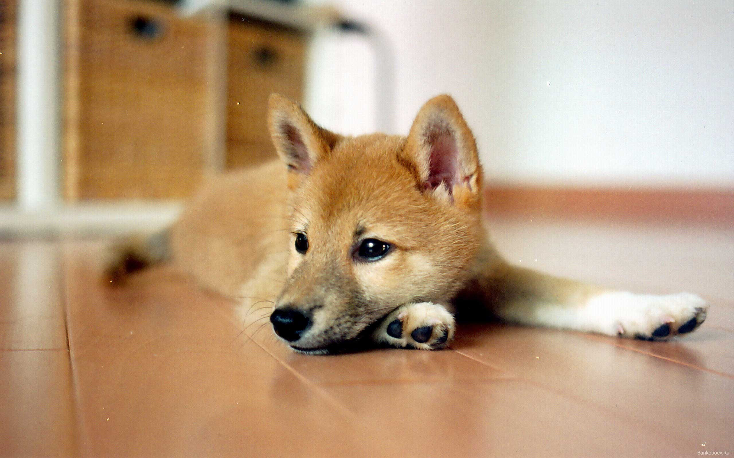 baby and shiba inu wallpaper - photo #23