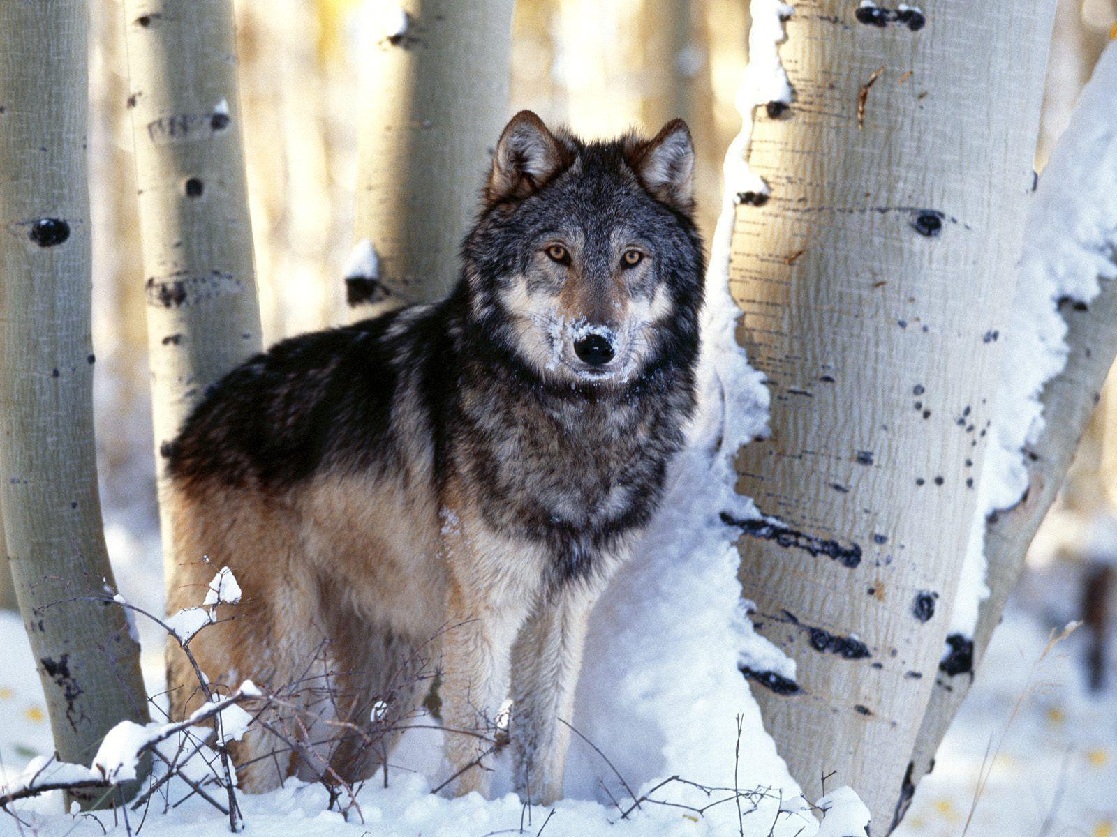 Hd Wolf Wallpaper - Denpasar News
