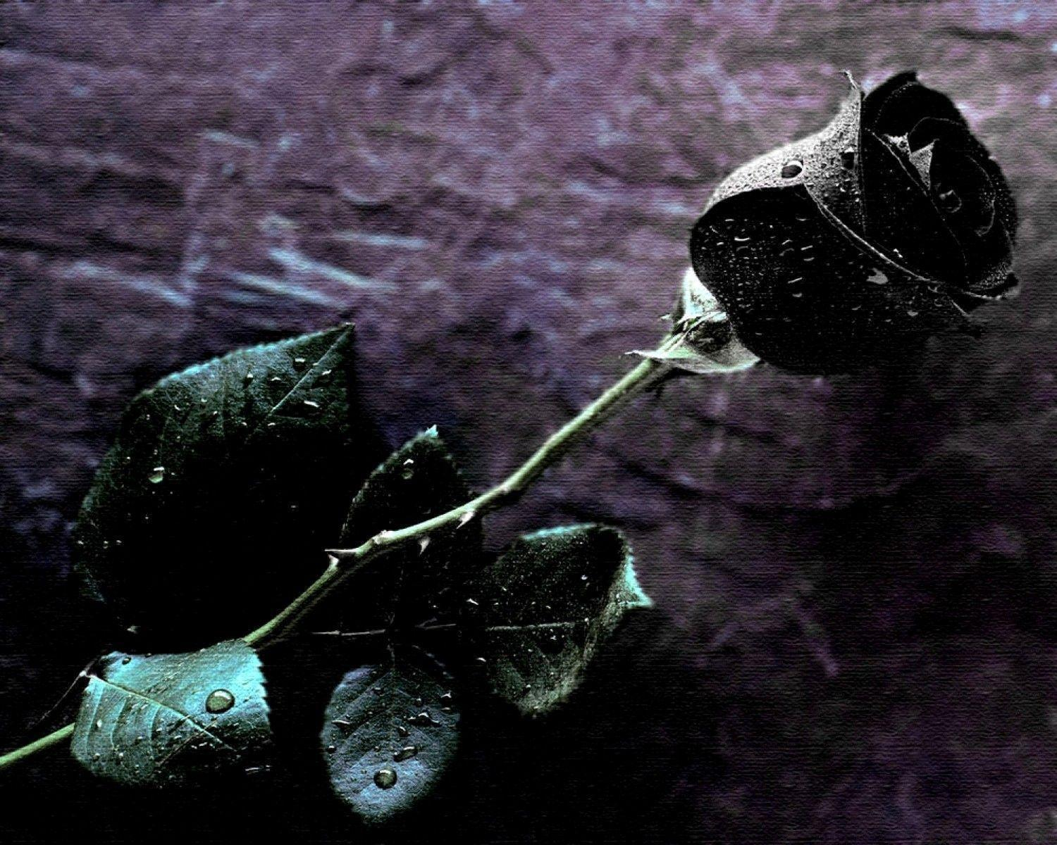 Wallpapers Black Rose