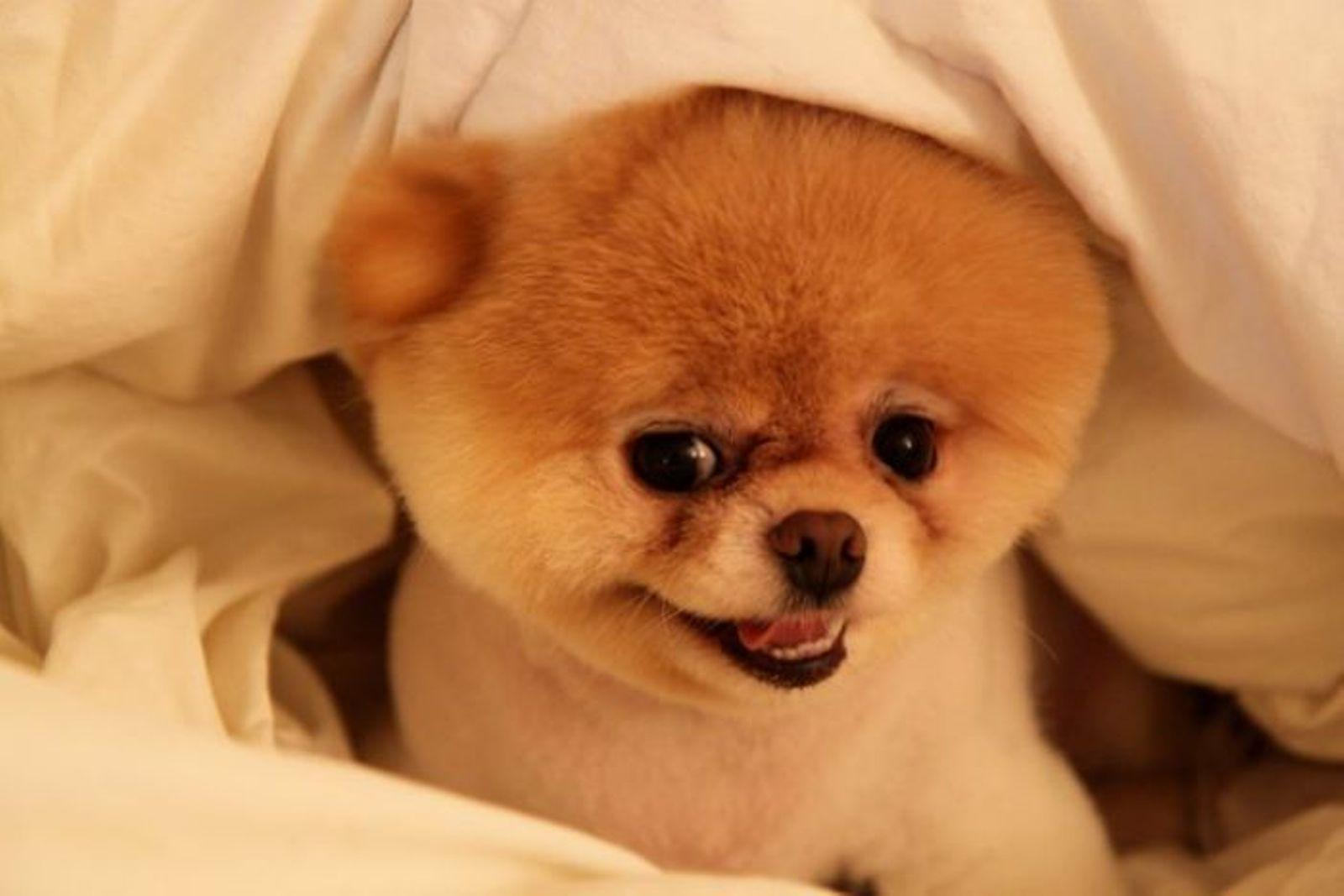 Boo Dog Pictures « Desktop Background Wallpapers HD
