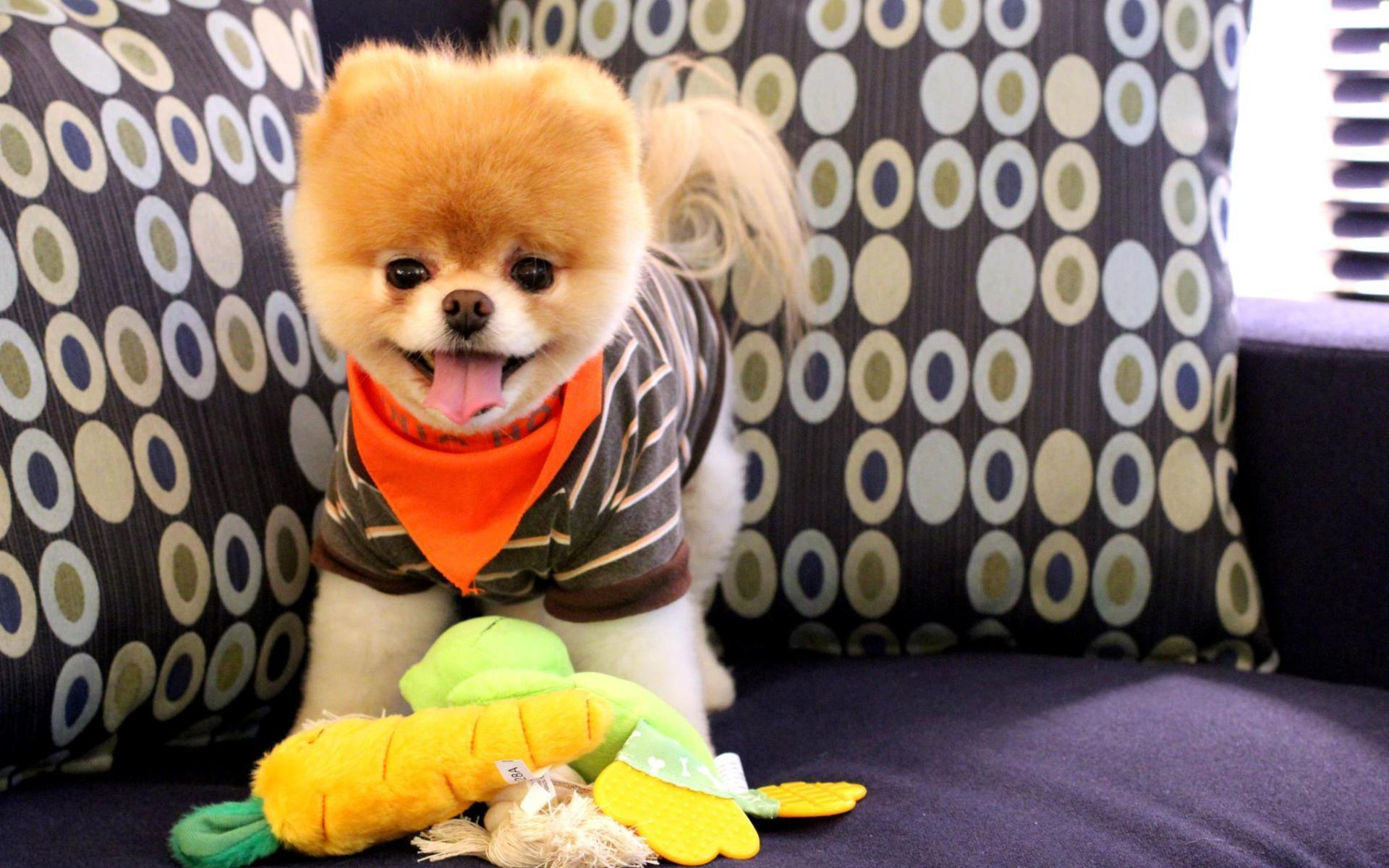 boo the cutest dog wallpapers - DriverLayer Search Engine