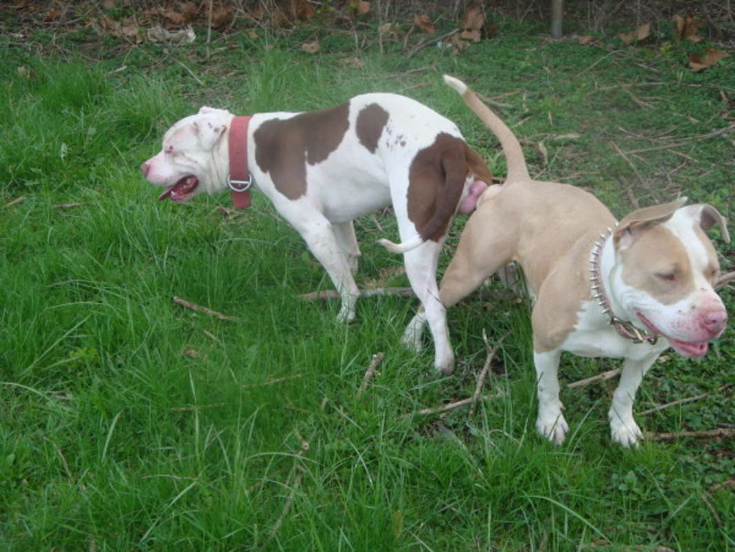 white nose pitbull puppies wwwimgkidcom the image