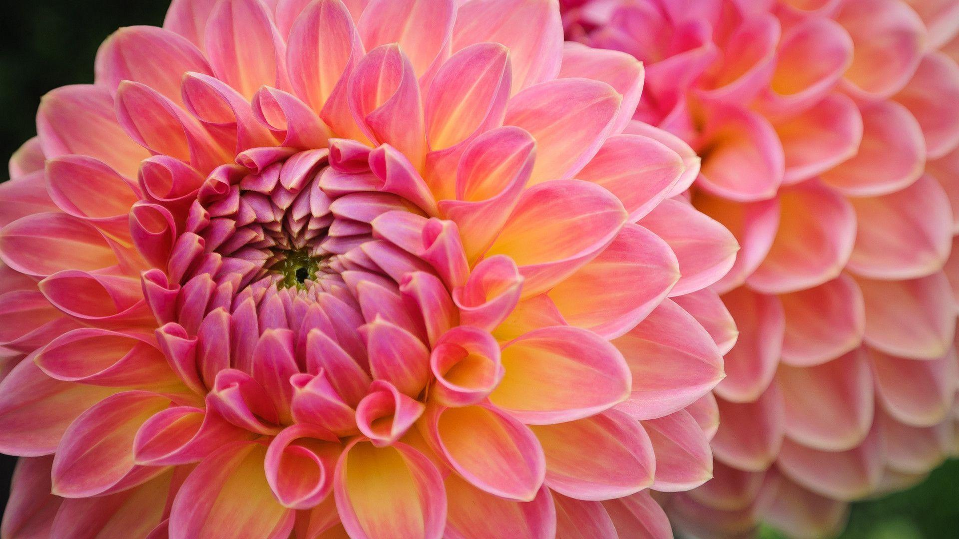 Dahlia Wallpapers Wallpaper Cave HD Wallpapers Download Free Images Wallpaper [1000image.com]