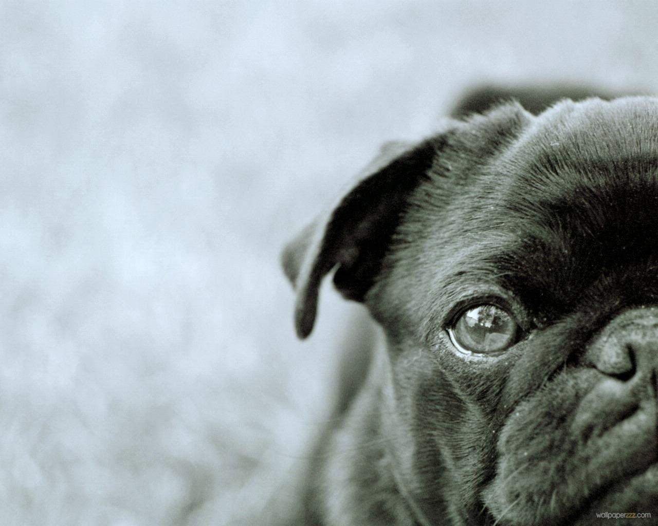 Pix For Black Pug Puppy Wallpaper