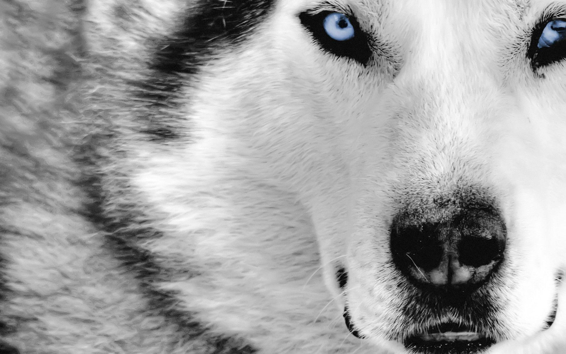 wolf wallpaper free download  Free HD Wolf Wallpapers - Wallpaper Cave