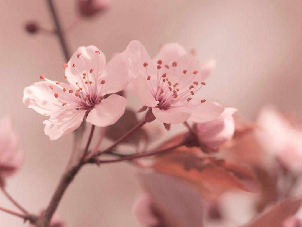 Light Pink Flower Wallpaper Viewing Gallery