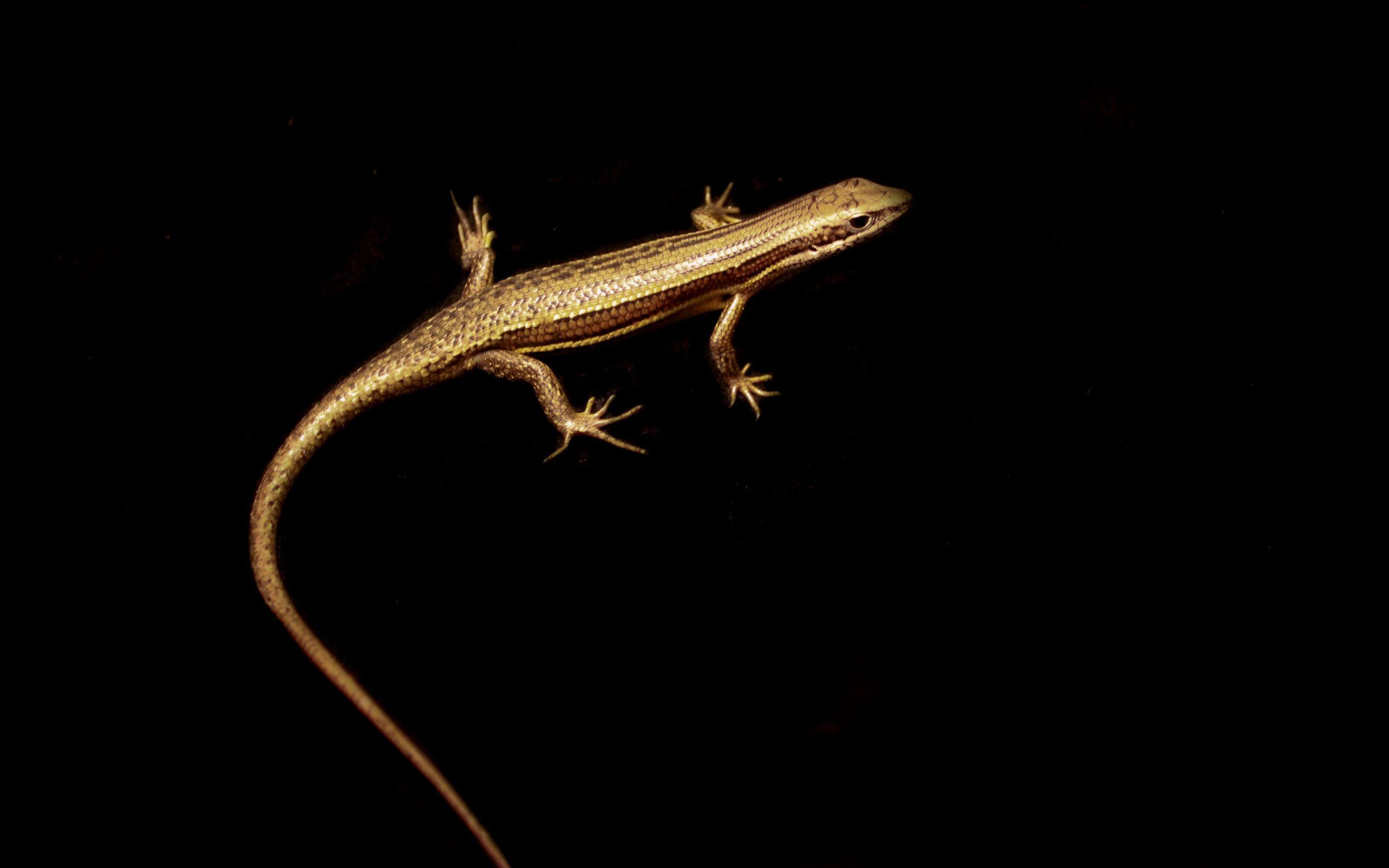 Lizard Wallpapers - Wallpaper Cave