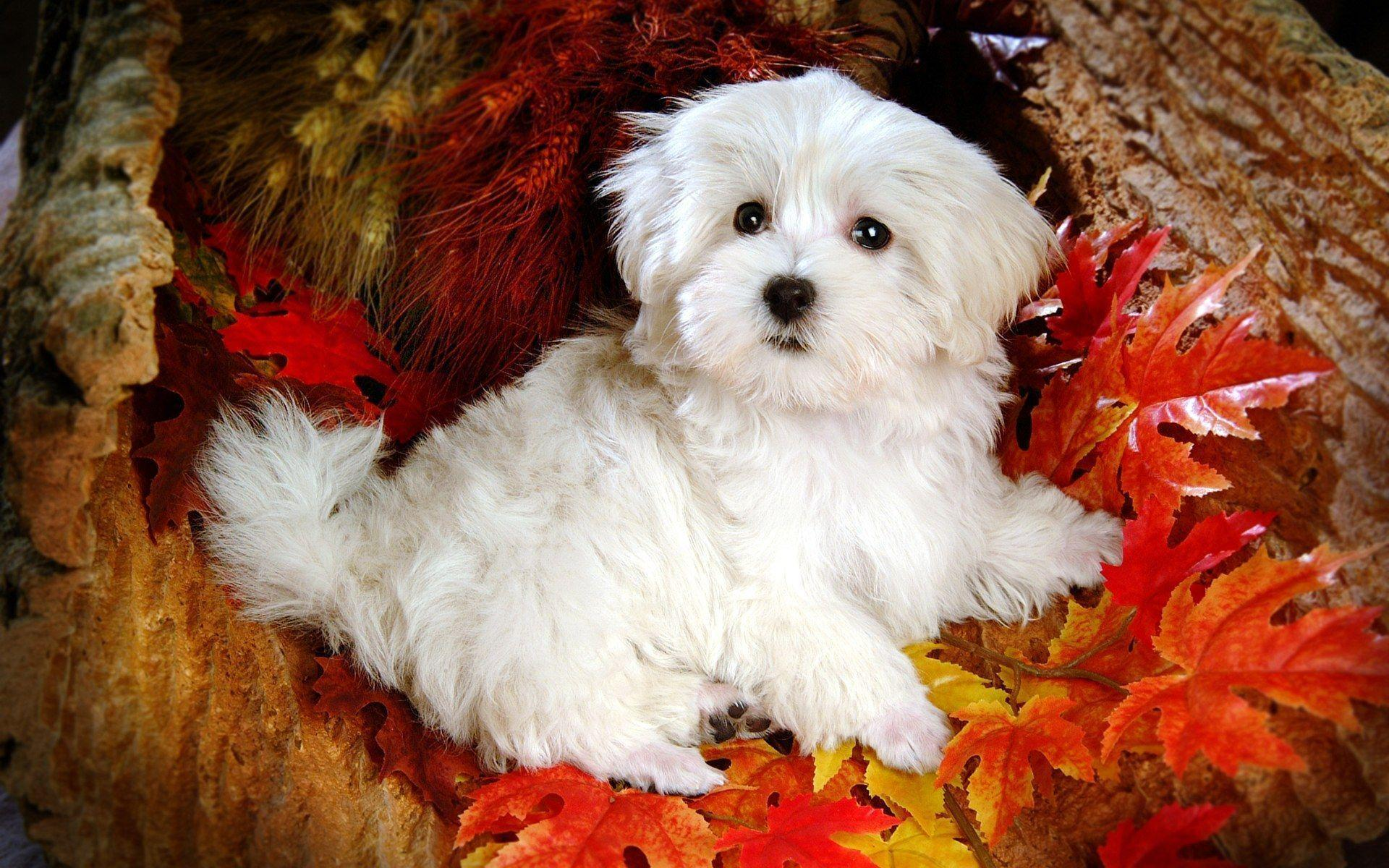 wallpapers for cute white puppy wallpaper desktop