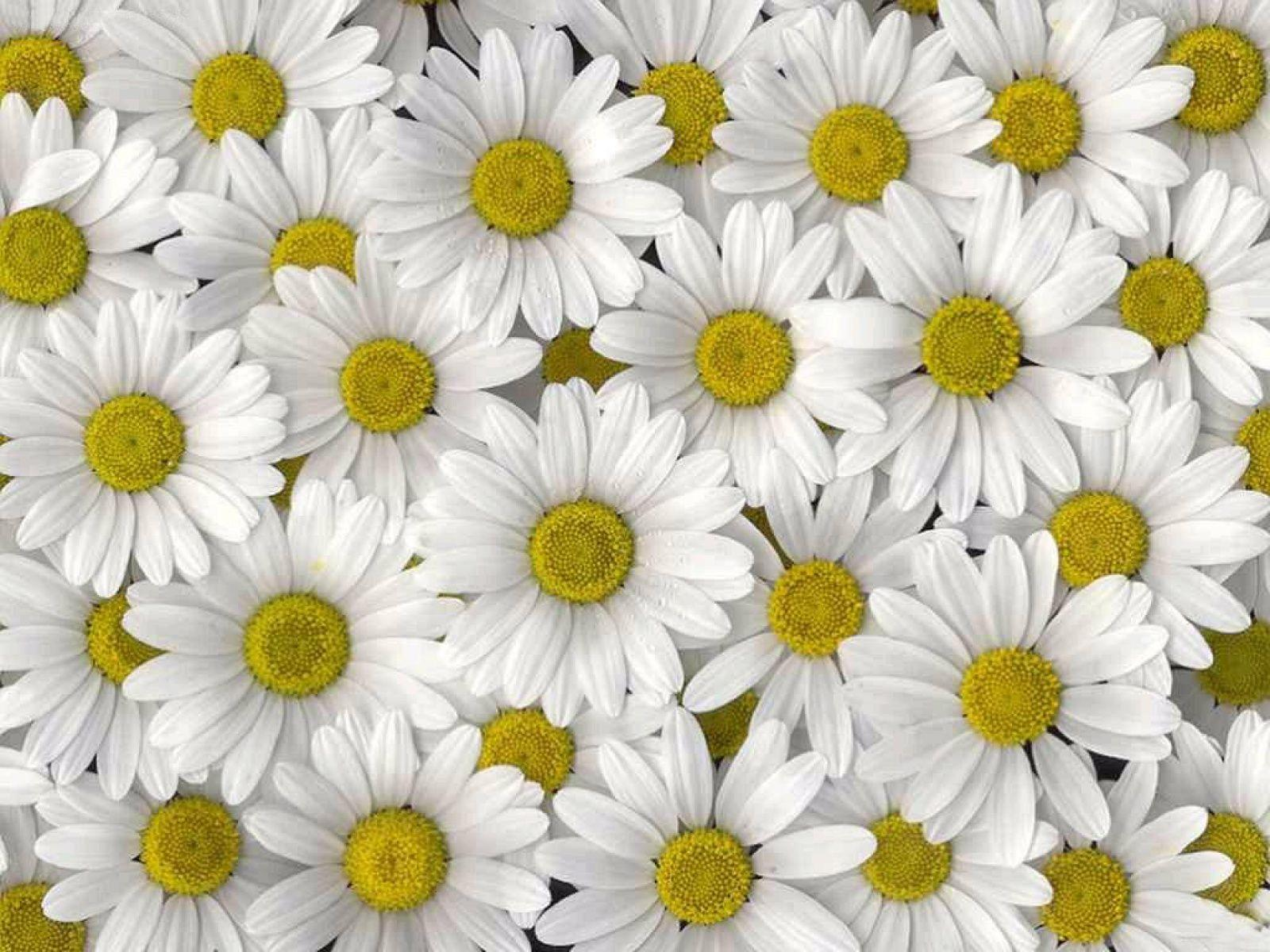 Daisy wallpapers wallpaper cave for Mal bianco rose