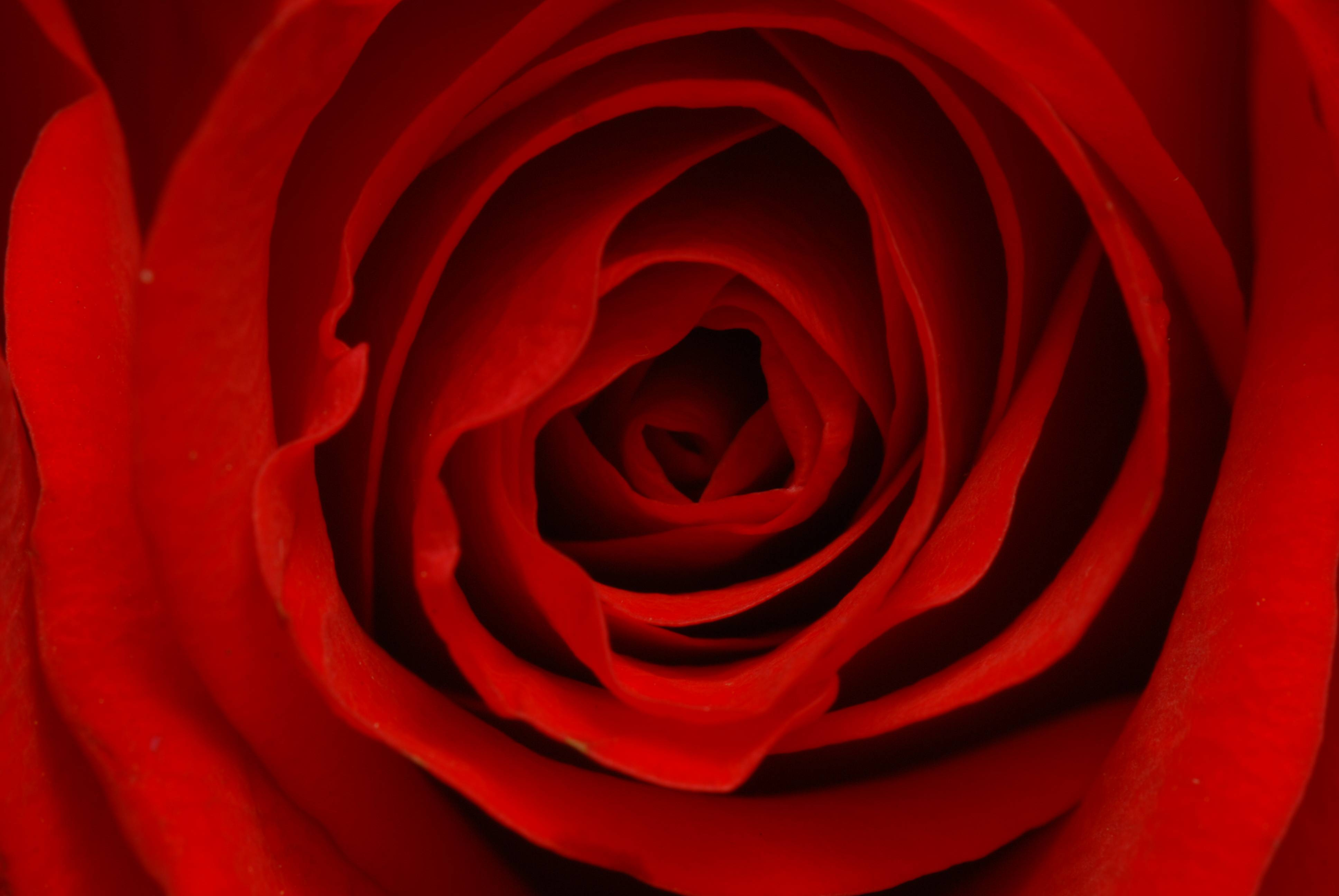 Flower Rose Wallpaper Flower Rose Wallpapers Flower Rose Wallpaper ...