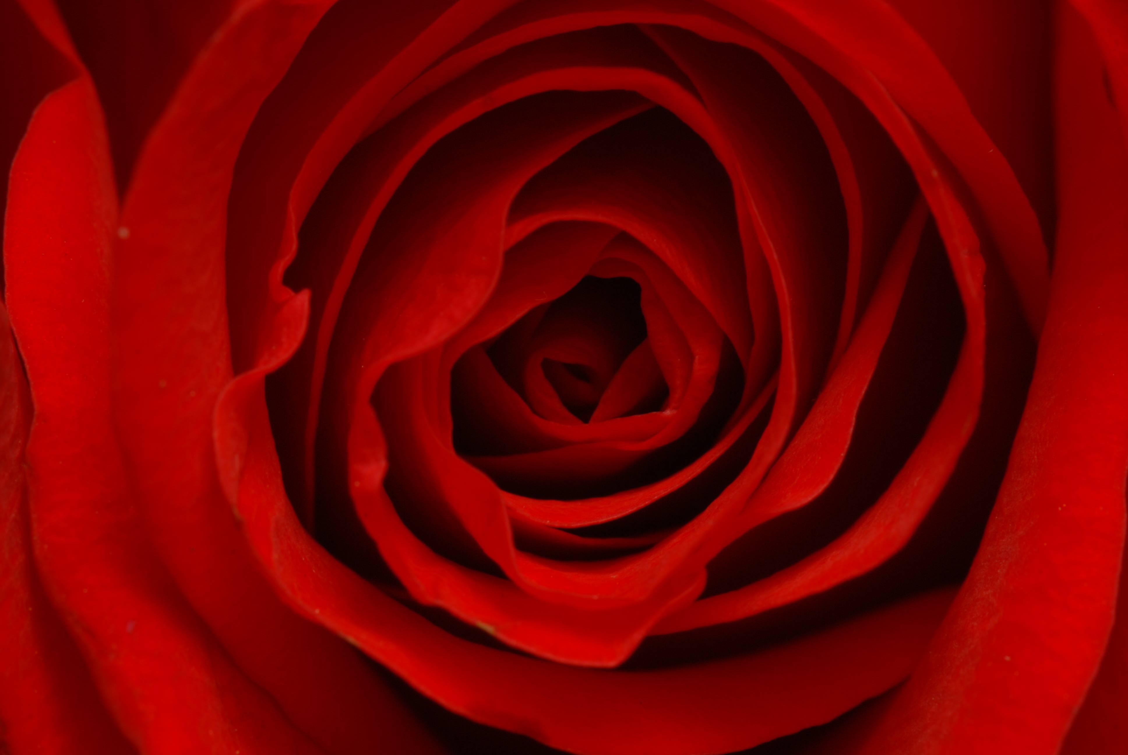 Flower Rose Wallpaper Flower Rose Wallpapers Flower Rose Wallpaper ...