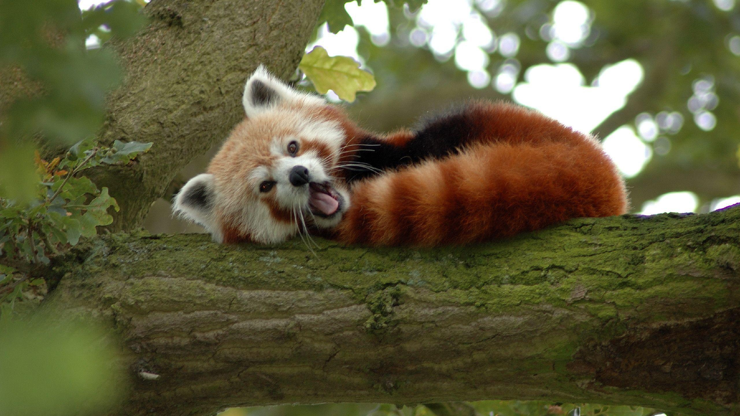 94 Red Panda Wallpapers | Red Panda Backgrounds