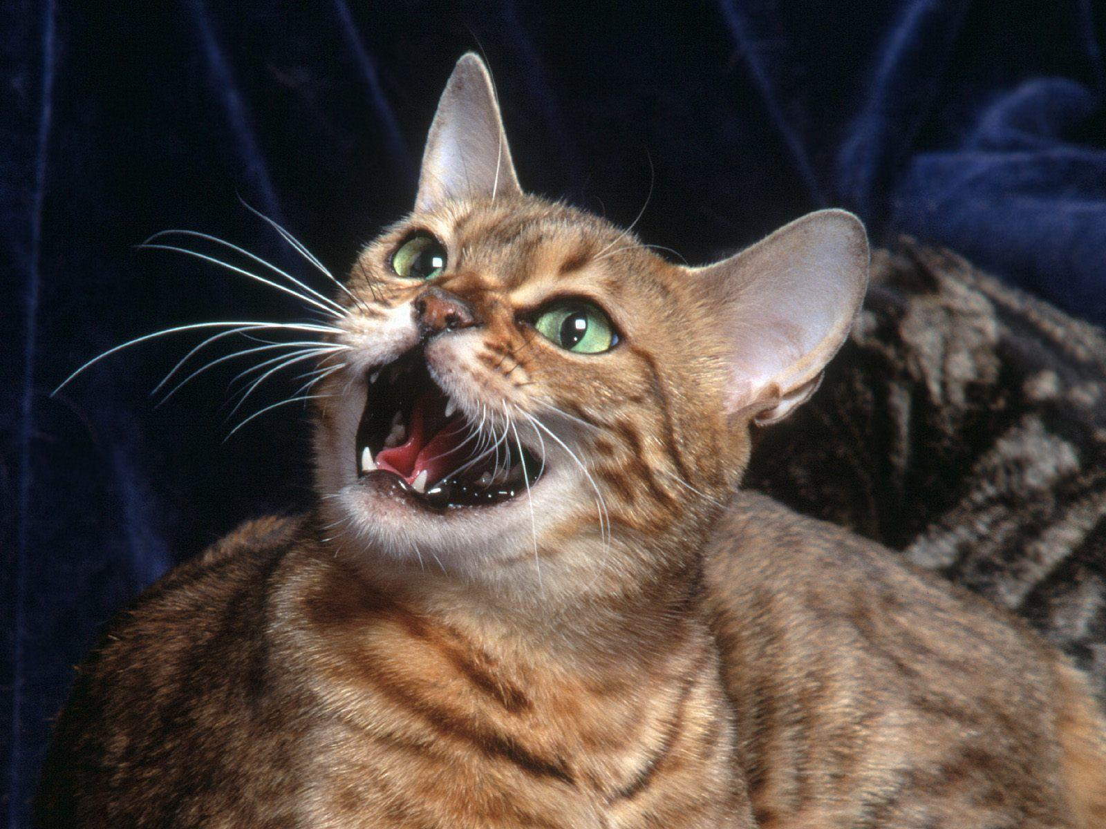 angry bengal cat pictures