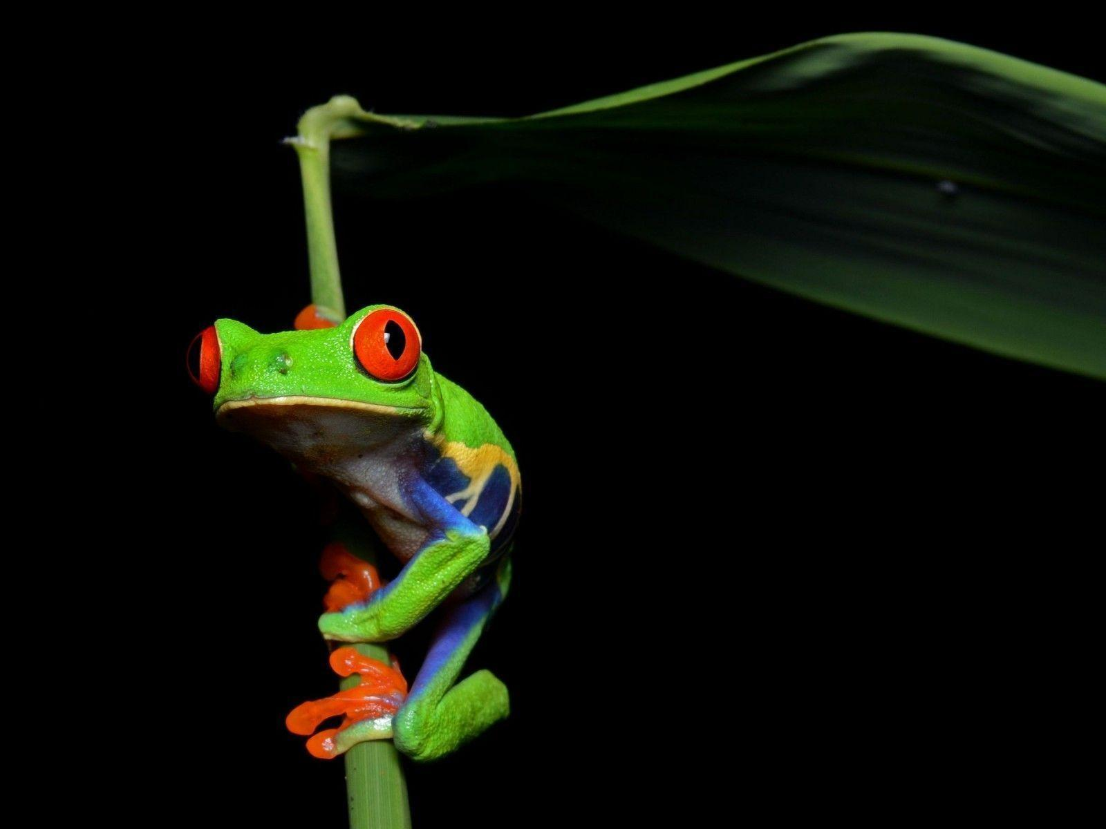 tree frog wallpapers wallpaper cave