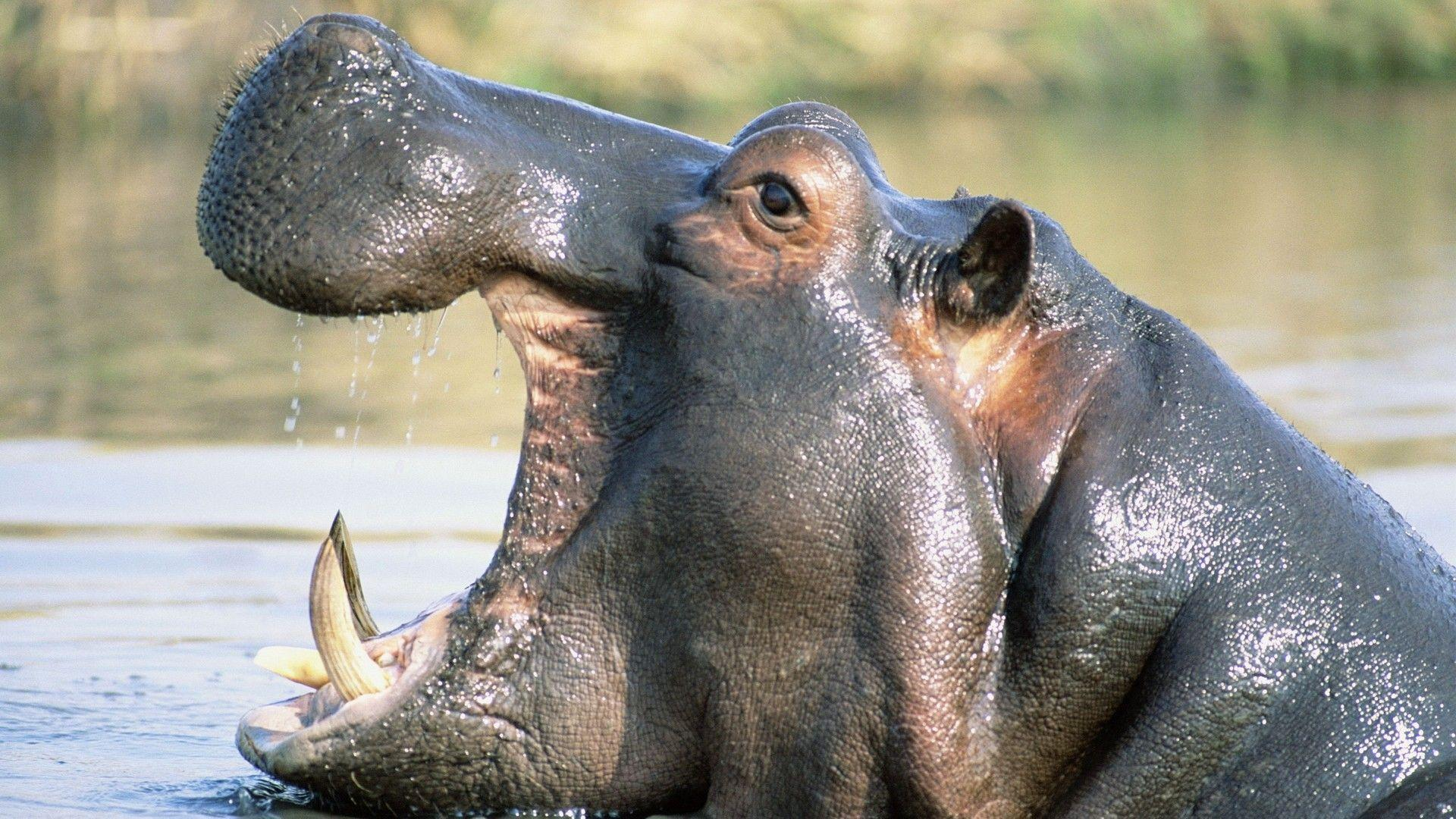 The Images of Nature Animals Hippopotamus Yawn 1920x1080 HD ...