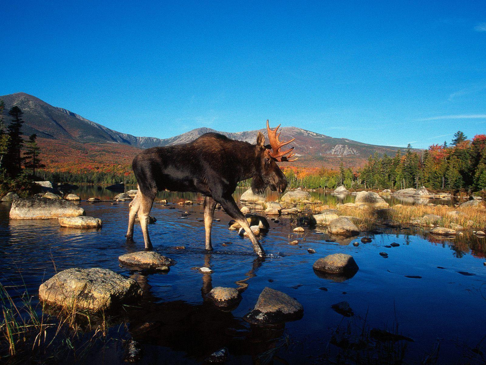 moose hd wallpaper - photo #8