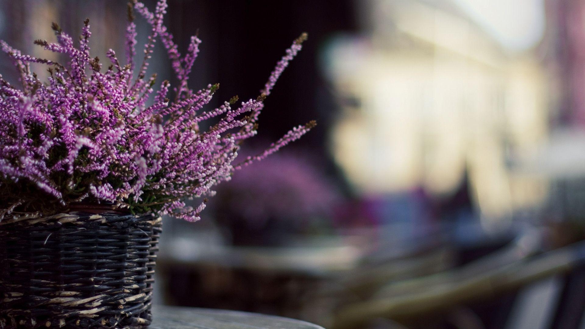 Desktop Pictures: Lavender Wallpapers, Lavender Wallpapers (#TT294 ...
