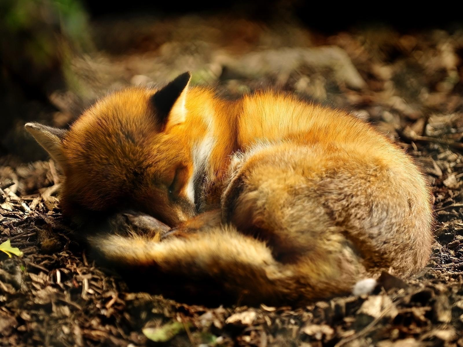 sleeping red fox wallpaper, jefferson and myths, being corrupt and ...